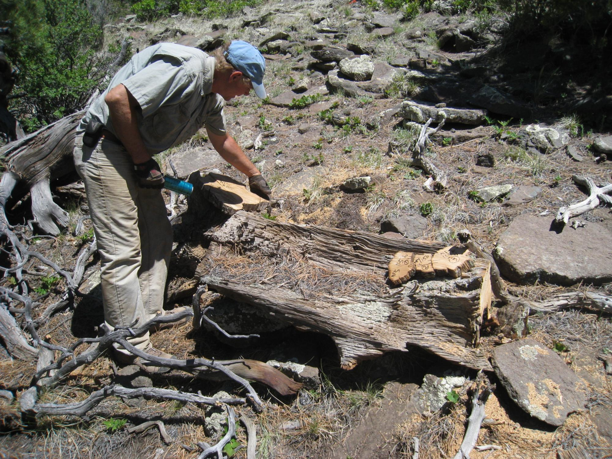 Chris Baisan of the UA's Laboratory of Tree-Ring Research samples a dead tree in New Mexico's Chuska Mountains. The tree dates from the time that ancient Puebloans were building massive structures in Chaco Canyon, about 50 miles away.