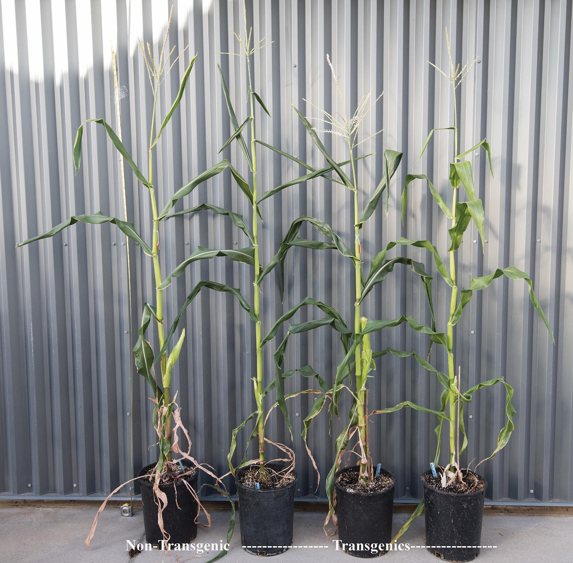 The three transgenic corn plants appear comparable in the non-transgenic control plant.