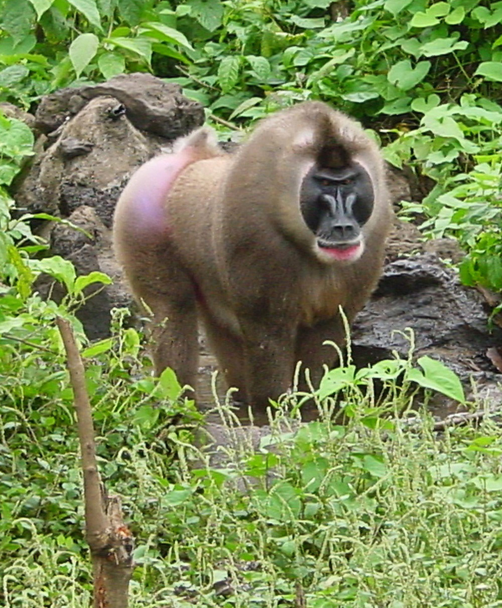Island-specific strains of the simian immunodeficiency virus, which infects monkeys such as the Bioko Drill, revealed the virus has been around thousands of years longer than previously thought.