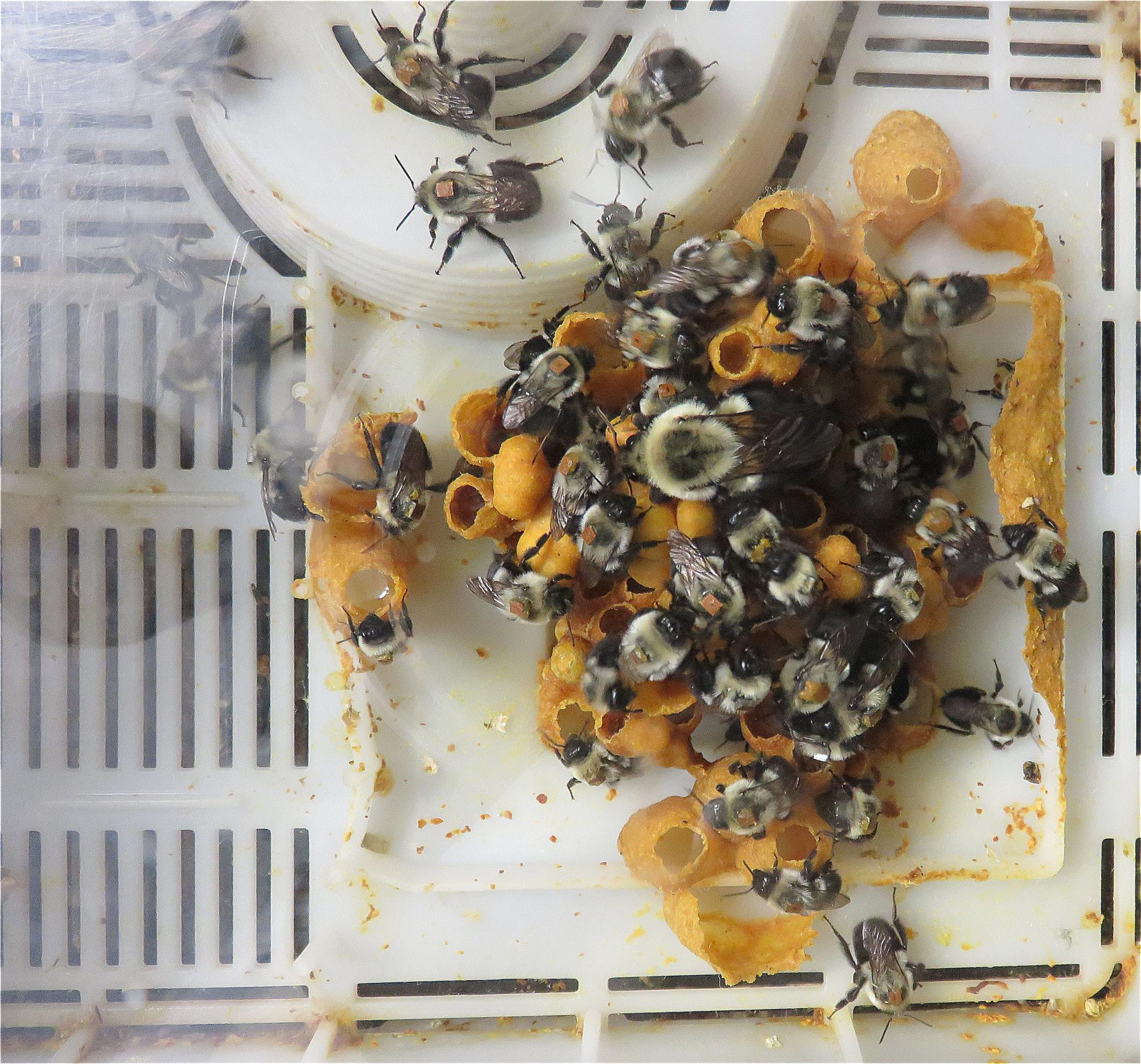 Home improvement: Bumblebee workers are busy constructing the hive used in this laboratory study.