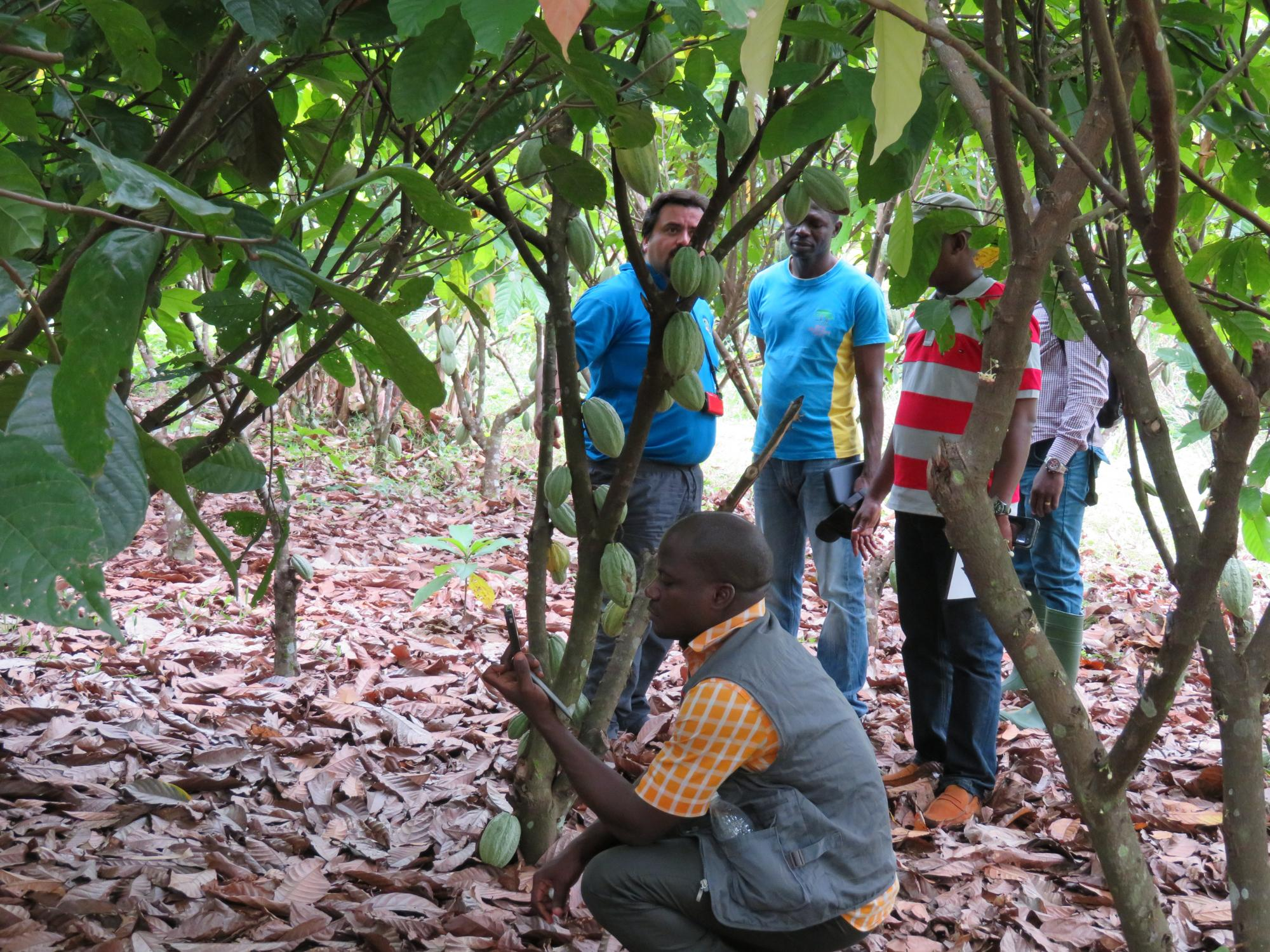 A scientist checks GPS coordinates of a cacao tree that is being monitored for signs of disease.
