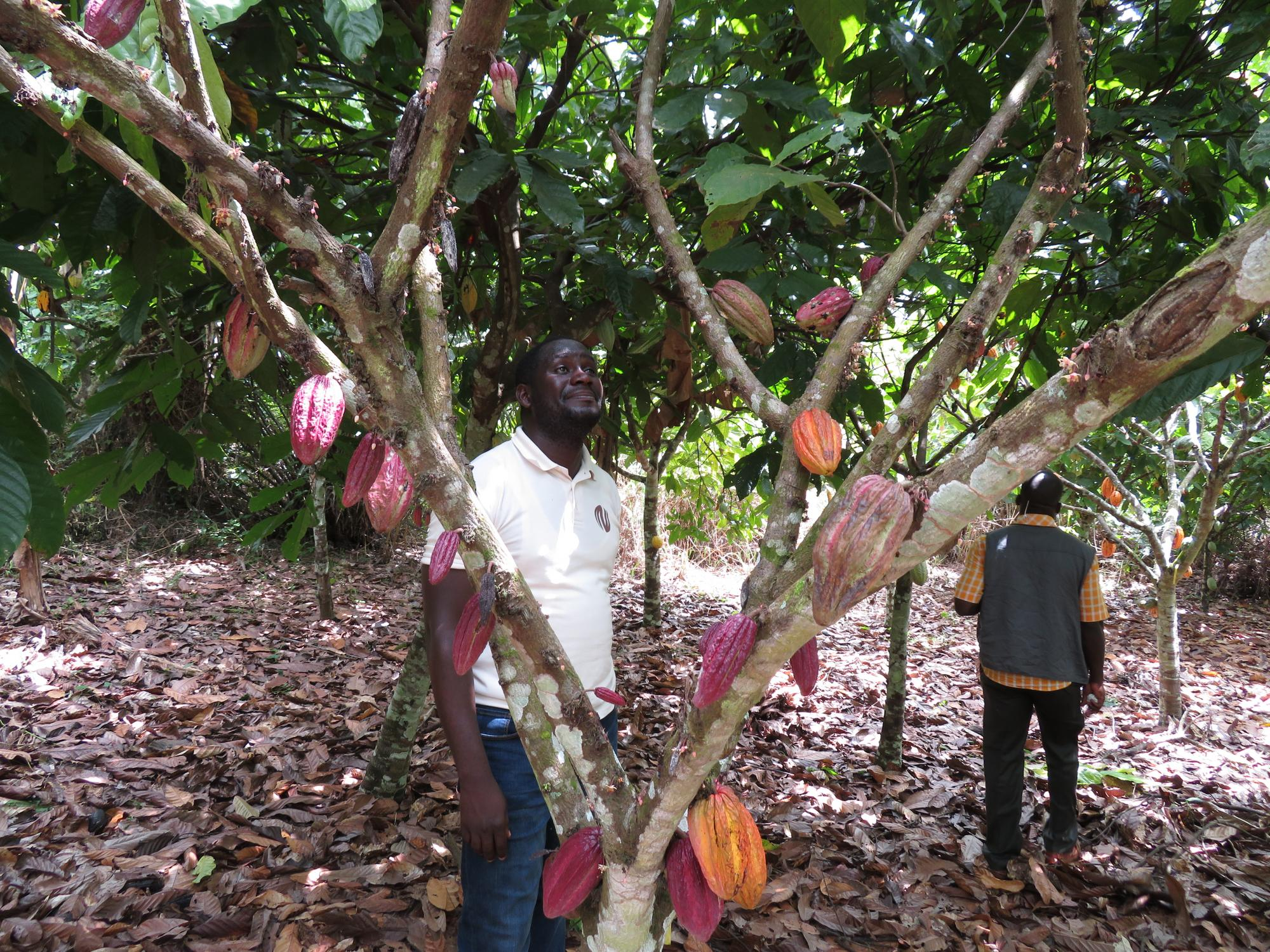 Romain Aka, a World Cocoa Foundation Fellow from Cote d'Ivoire who trained with Judy Brown in the UA Plant Sciences lab on a USDA fellowship,  collects survey samples from cacao trees in his home country.
