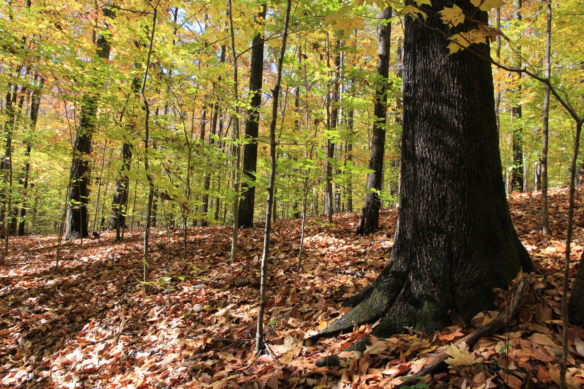 Deciduous Forest in Tennessee