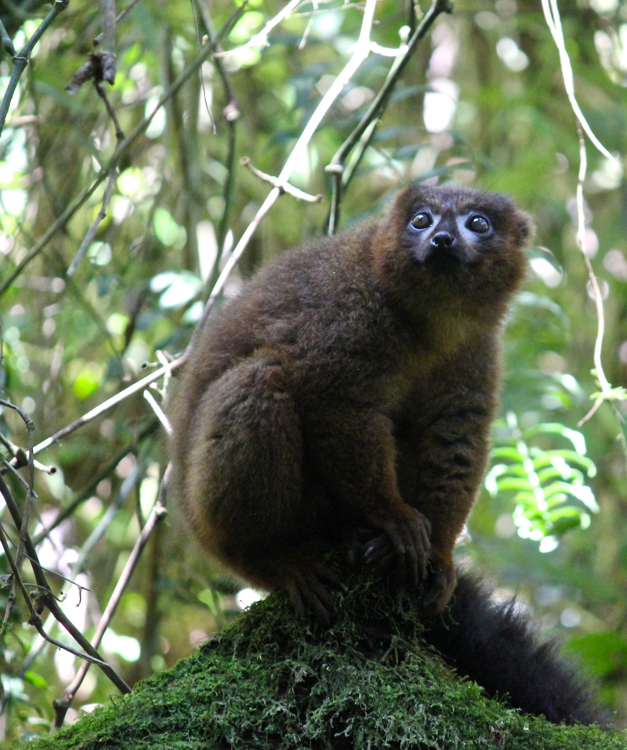 Lemurs are the world's most endangered group of mammals.