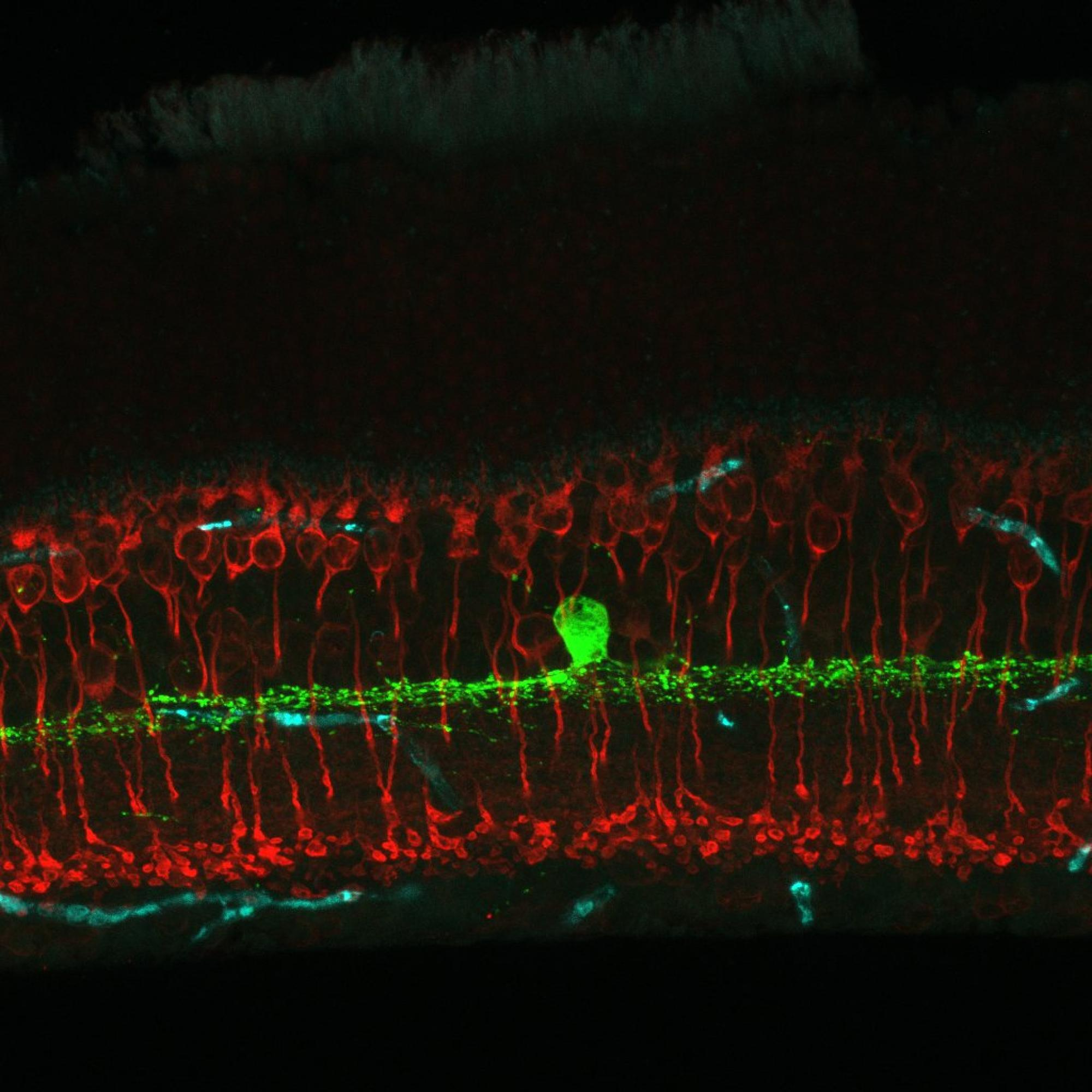This image of a slice through the retina, taken in the Eggers lab, shows the cells that produce dopamine in the retina, labeled in green.