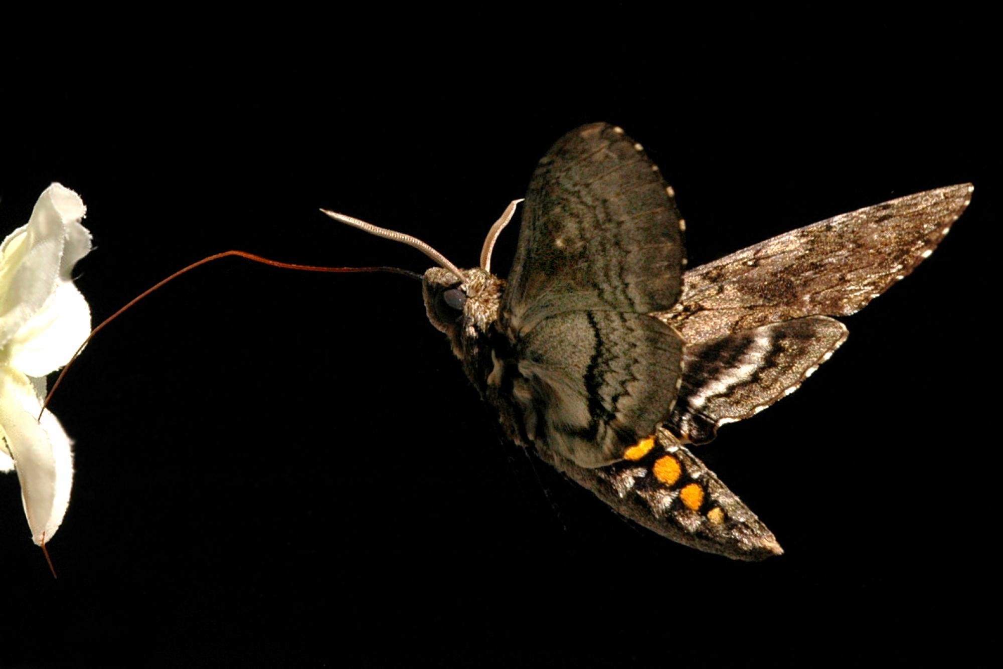 An adult Manduca sexta moth hovers in front of a flower while drinking nectar at night.