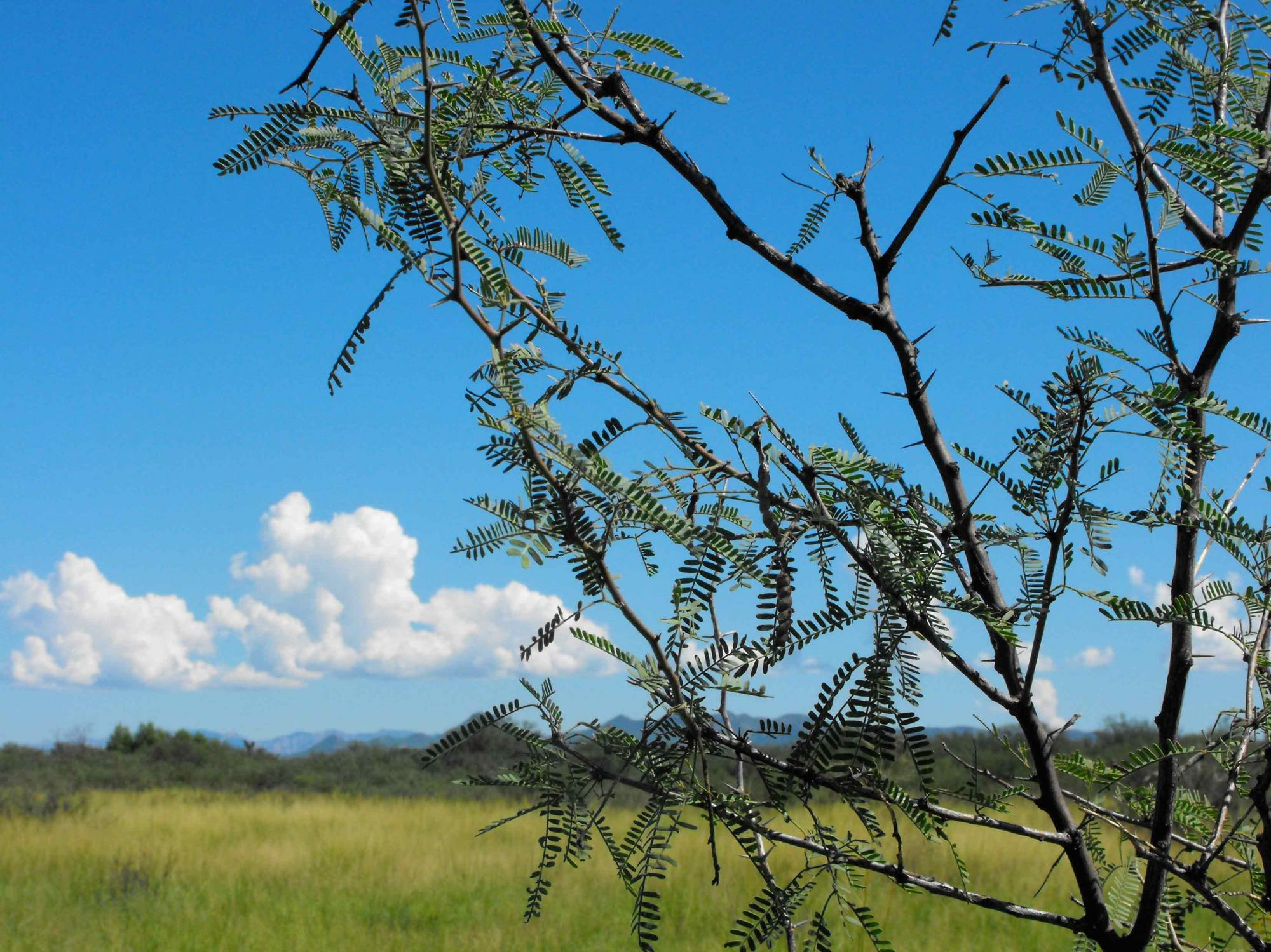Their extremely deep-reaching roots give mesquite trees an edge over grasses.