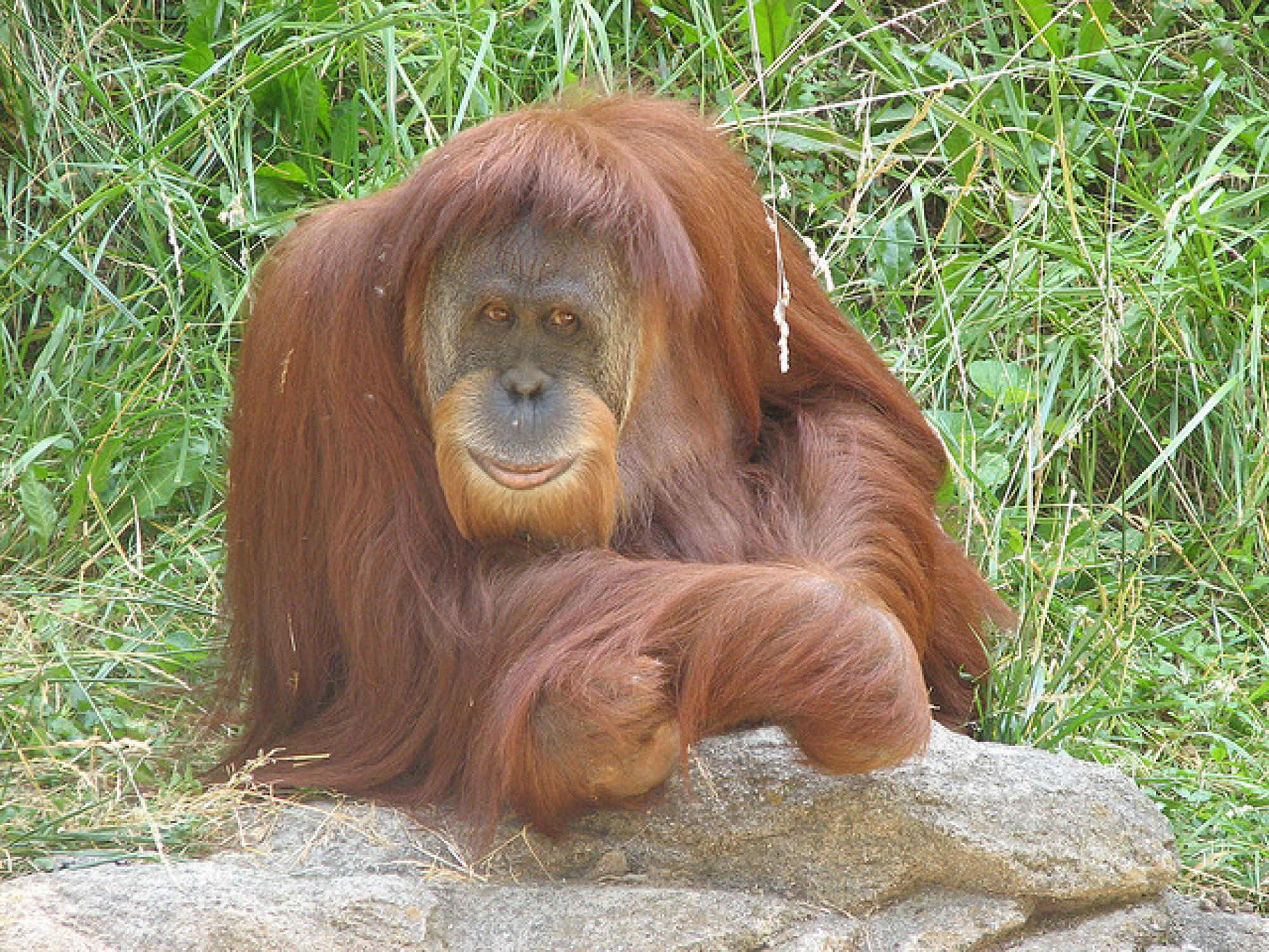 A Sumatran Orangutan photographed at Cincinnati Zoo.