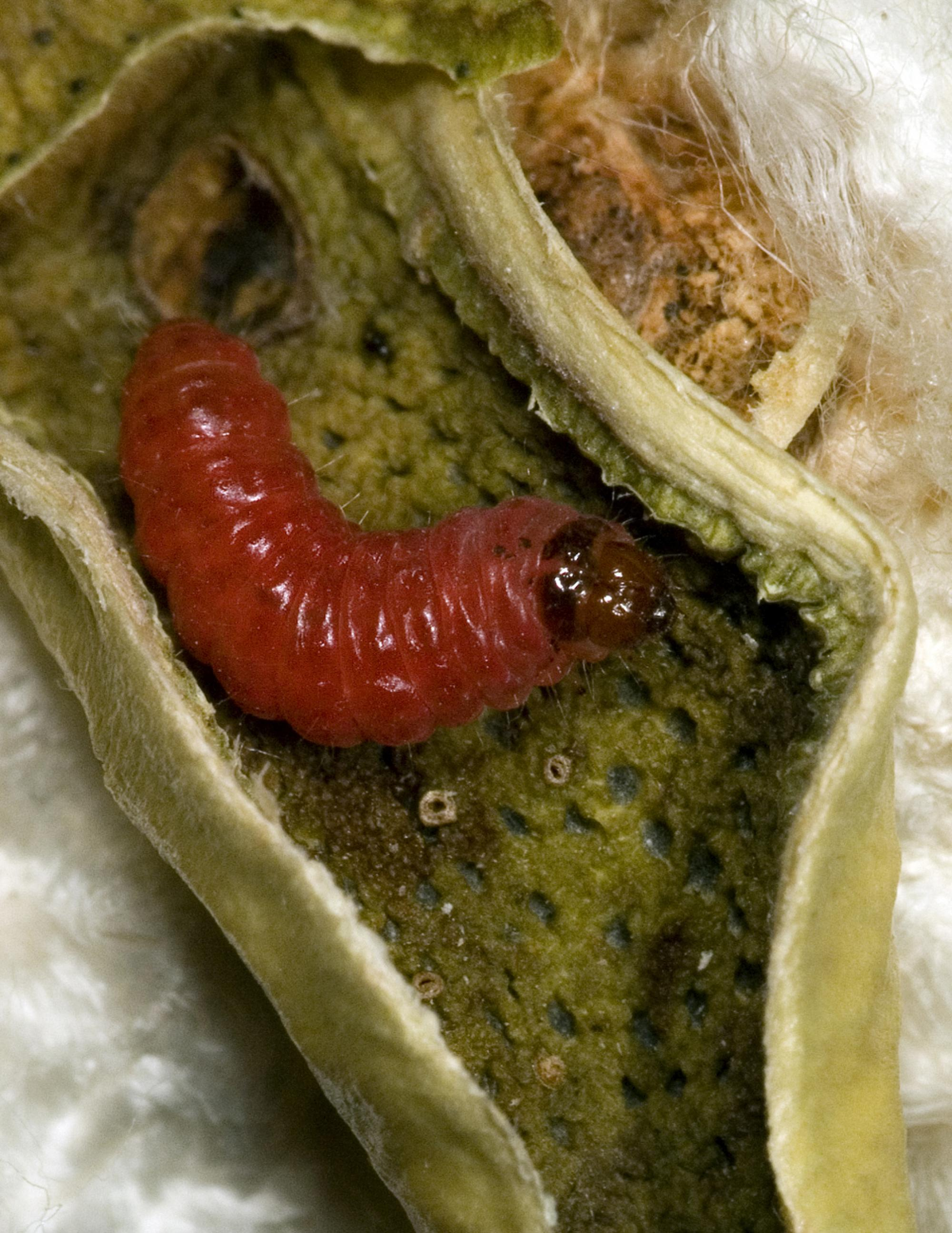 A pink bollworm caterpillar emerges after devouring the seeds within a cotton boll. This devastating pest quickly evolved resistance to genetically modified cotton in India, but not in the Southwestern United States where a coordinated resistance manageme