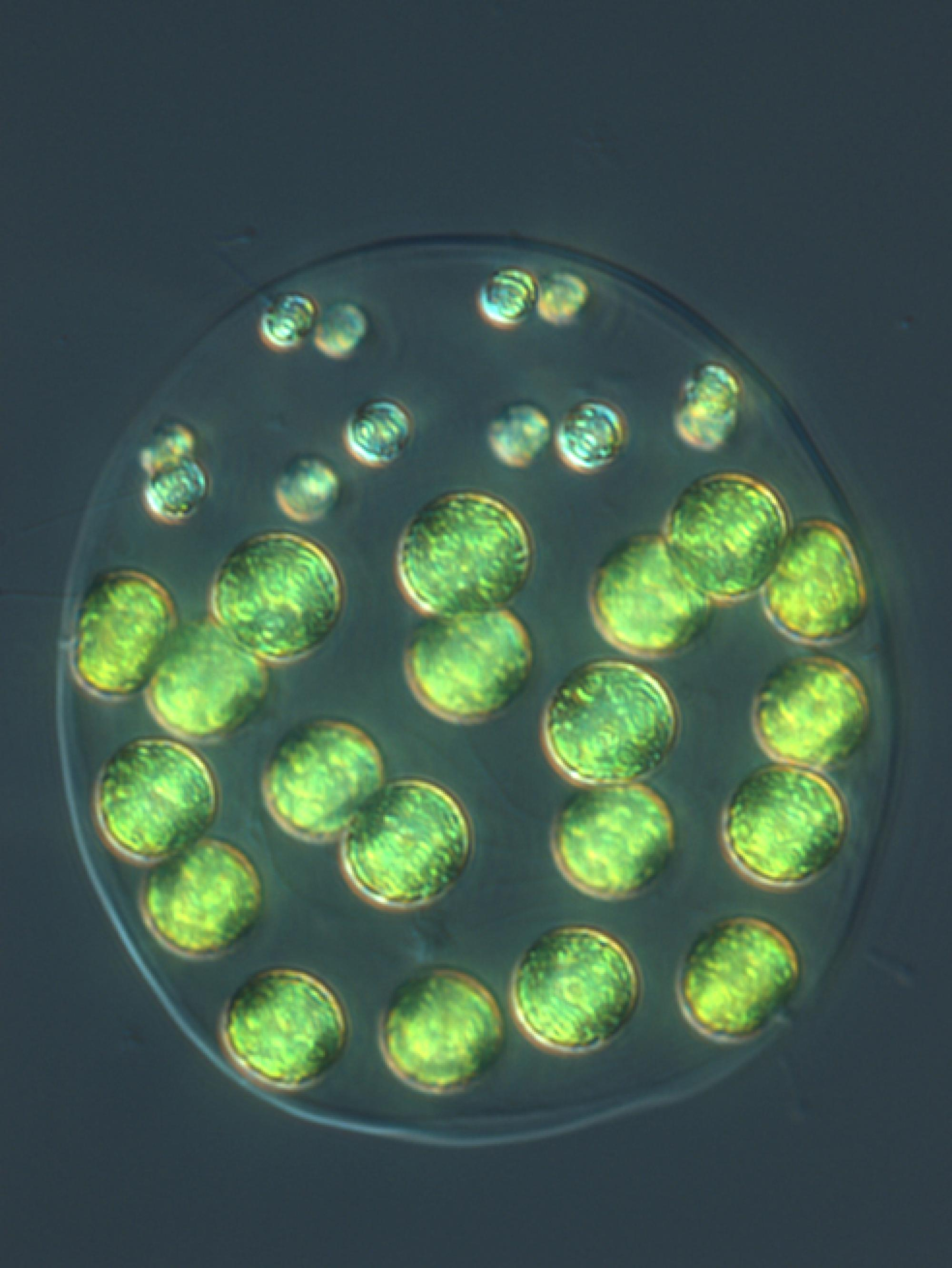 Pleodorina starrii has an incomplete division of labor. Although the 12