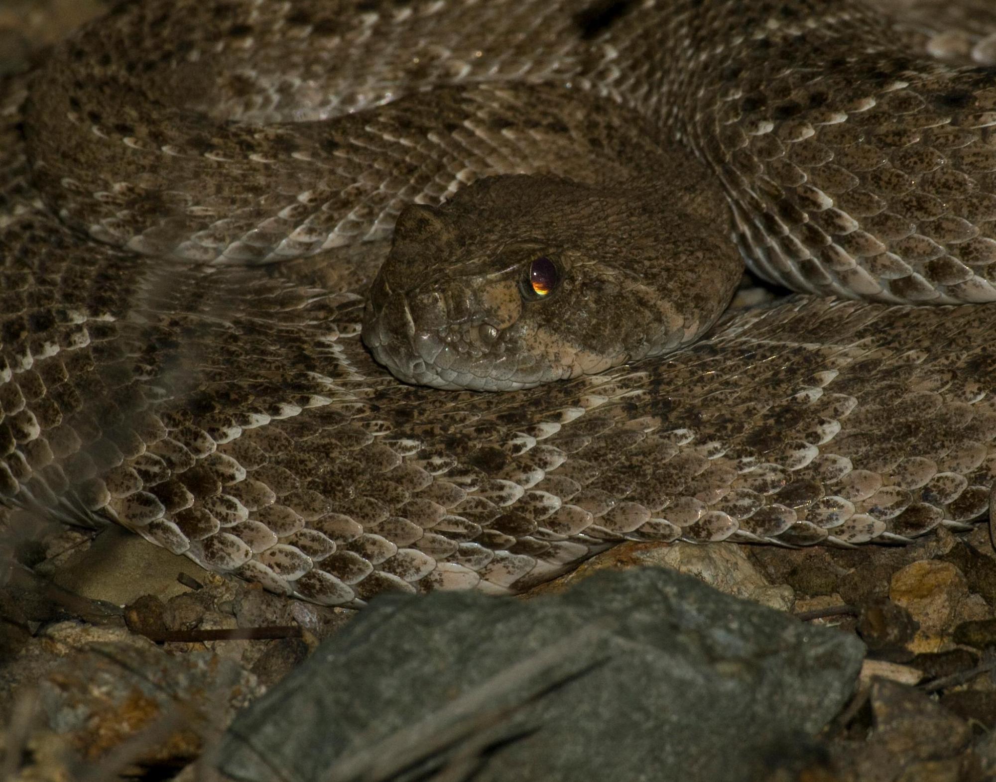 Arizona has 13 different species of rattlesnakes.