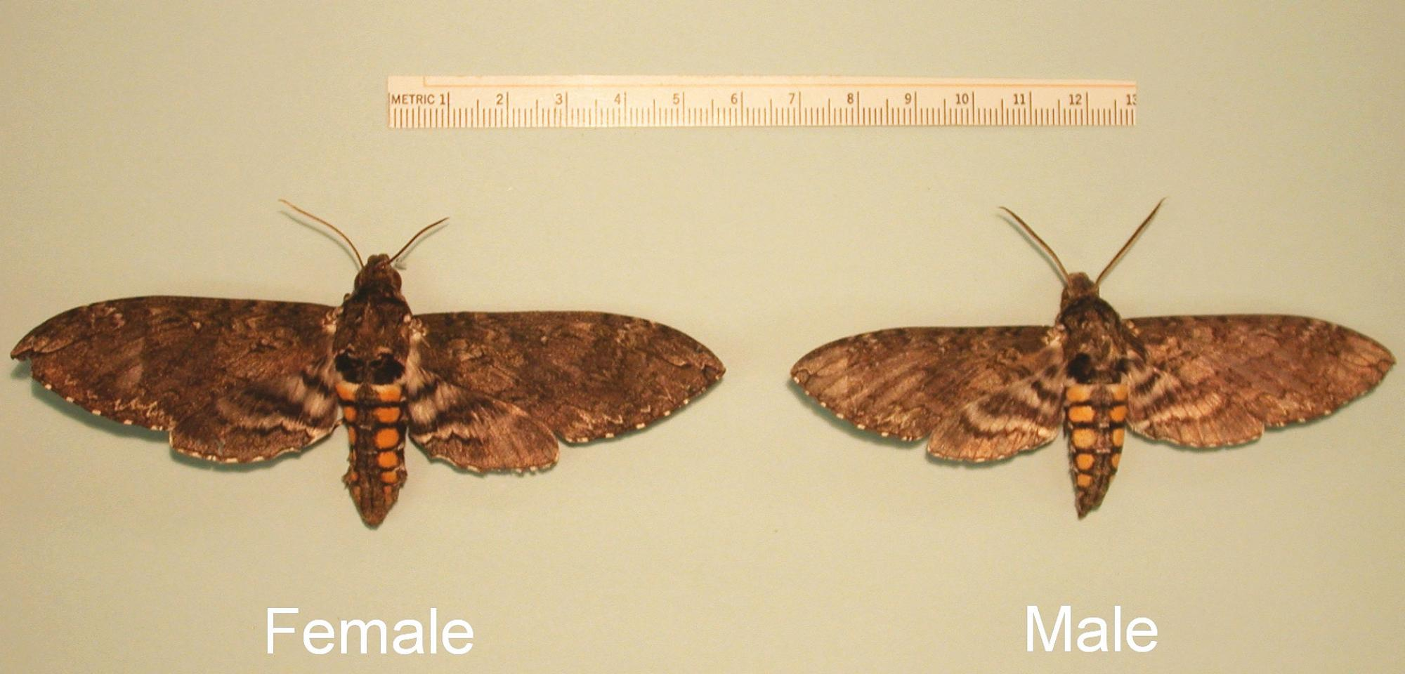 Female hawk moths  are larger than their male counterparts