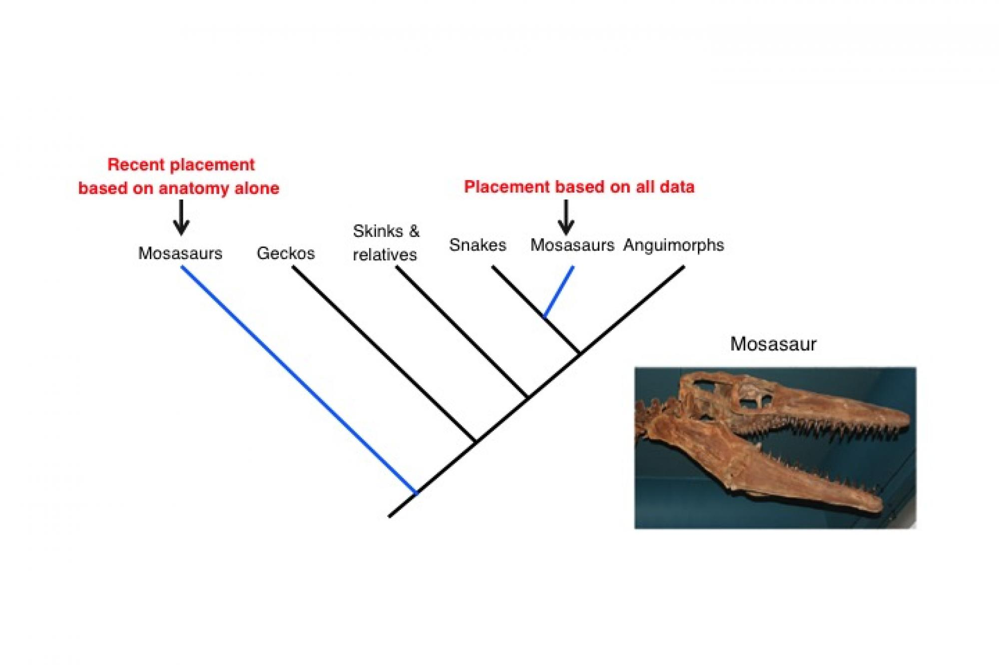 Kinship of the slithering kind: The study puts mosasaurs closer to snakes than monitor lizards, previously considered close kin of theirs.