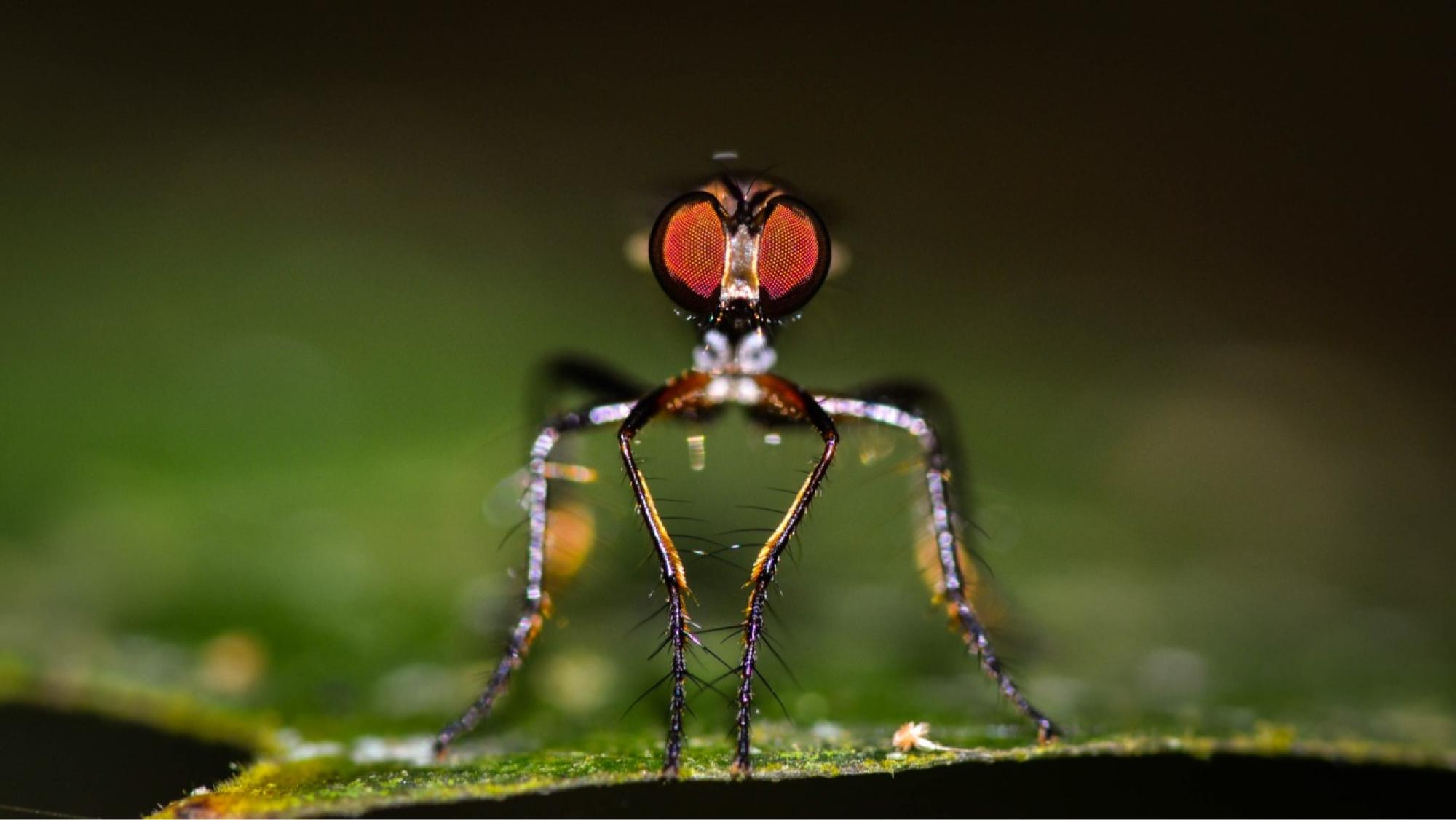 Assassin flies  are aggressive predators that feed on a variety of insects.