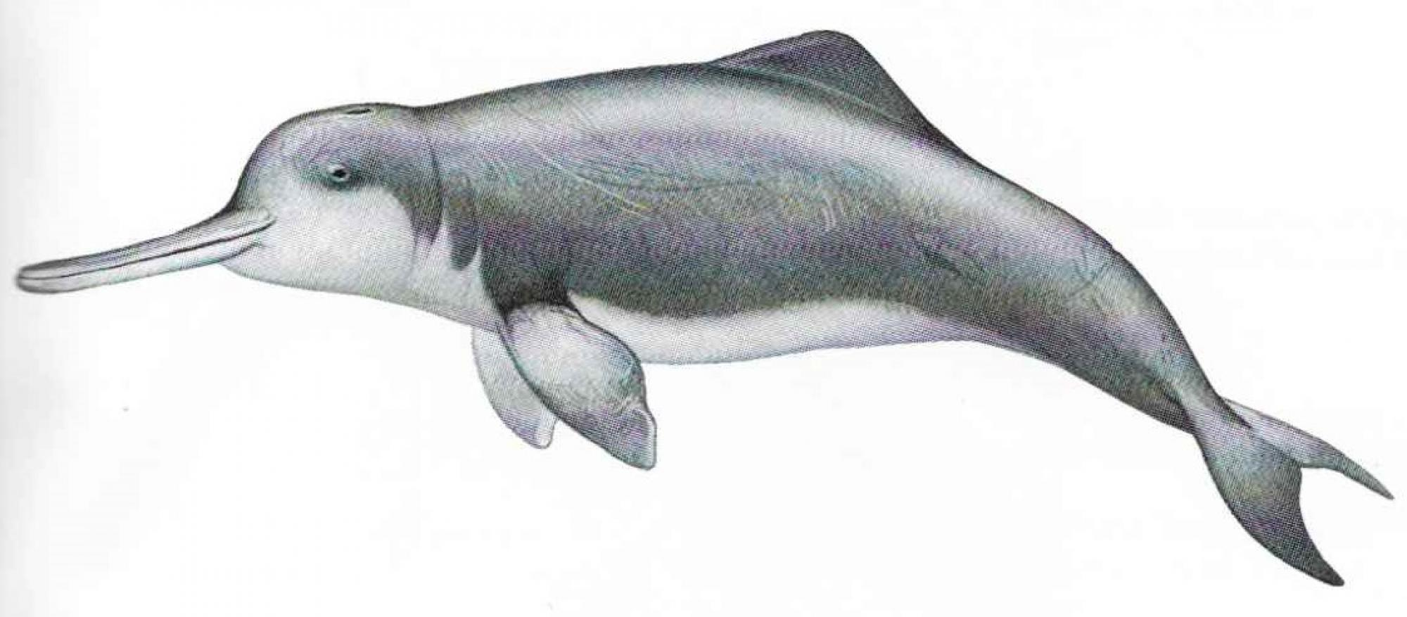 A baiji dolphin etching from the early 20th century.
