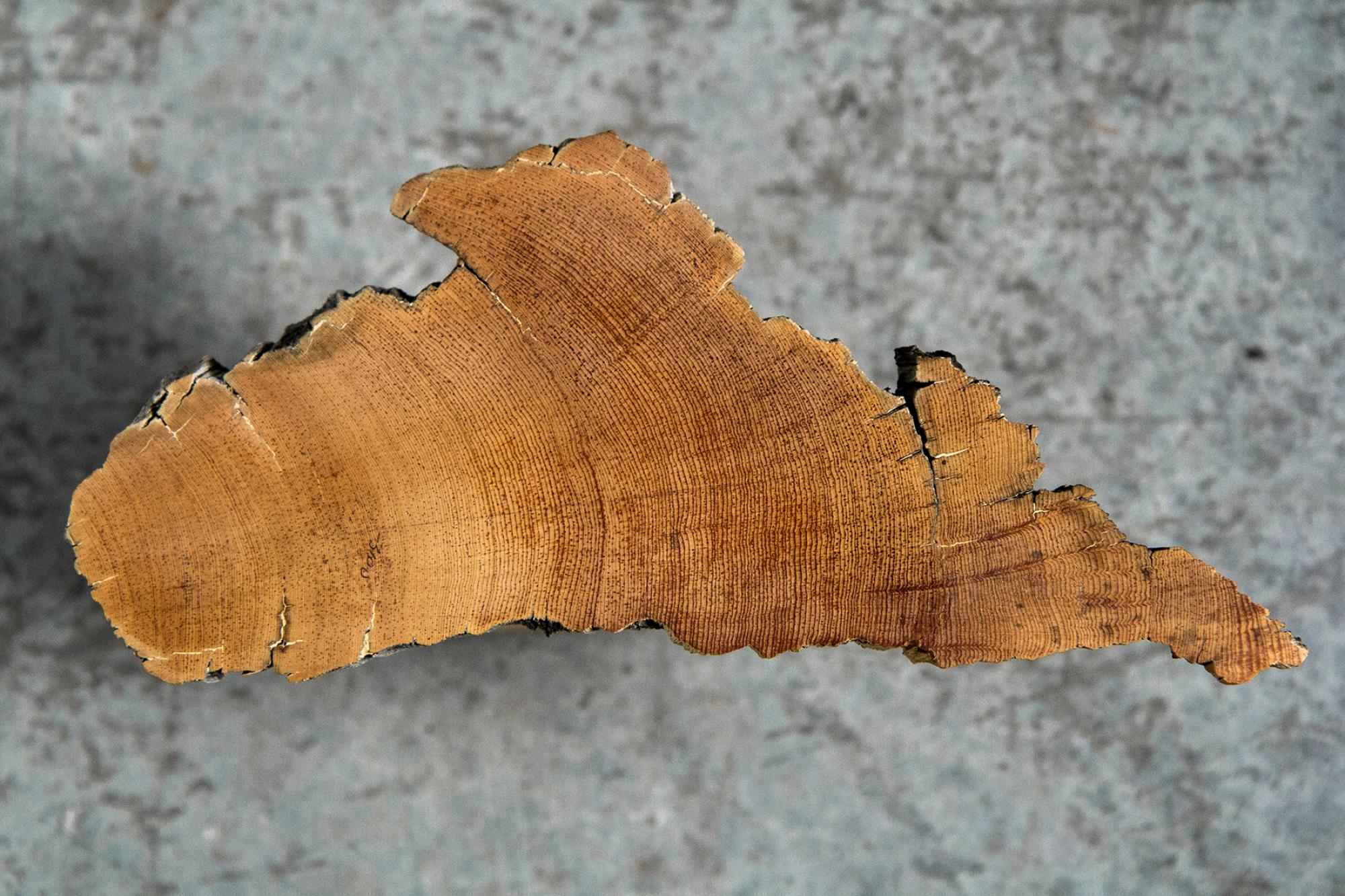 Pearson and her team measured single tree rings of known age from low-altitude oak and high-altitude bristlecone pine , and compared those measurements with the internationally agreed radiocarbon calibration curve.