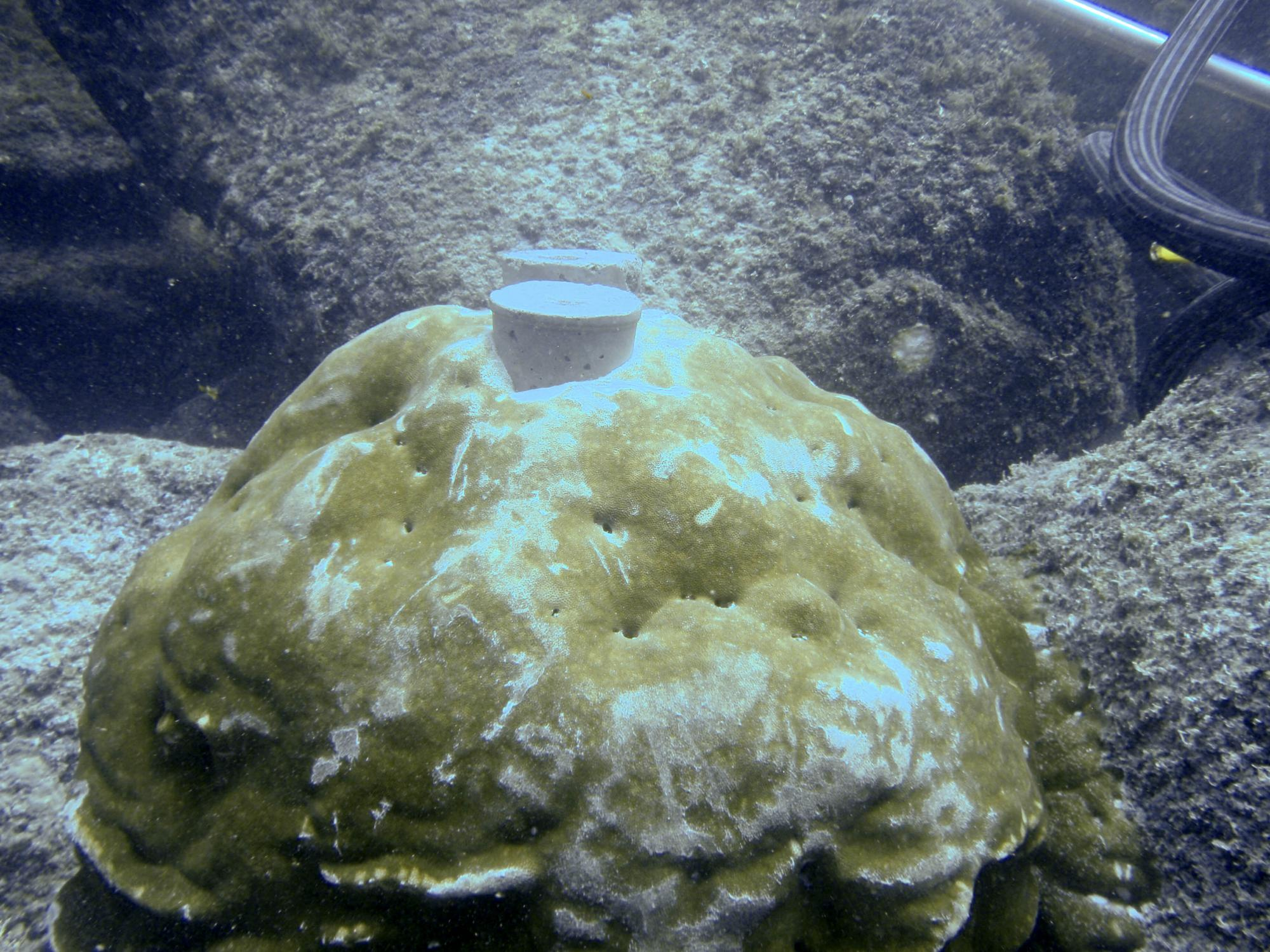 After removing two cores from this coral head near Wolf Island in the Galápagos, the UA-led team of researchers plugged the drill holes. The cement plugs help the coral grow over the holes and keep animals out of the holes.