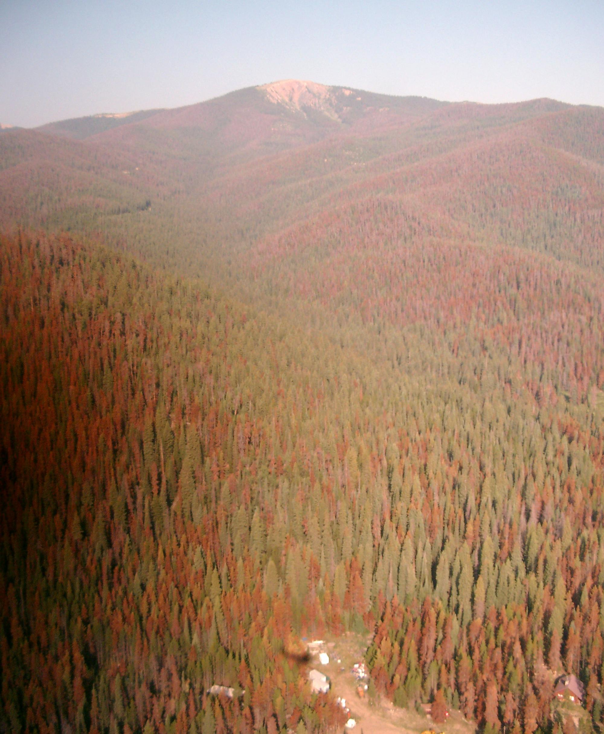 Warmer wintertime temperatures are thought to boost pine beetle populations, while extended dry periods make trees more susceptible to the insects.