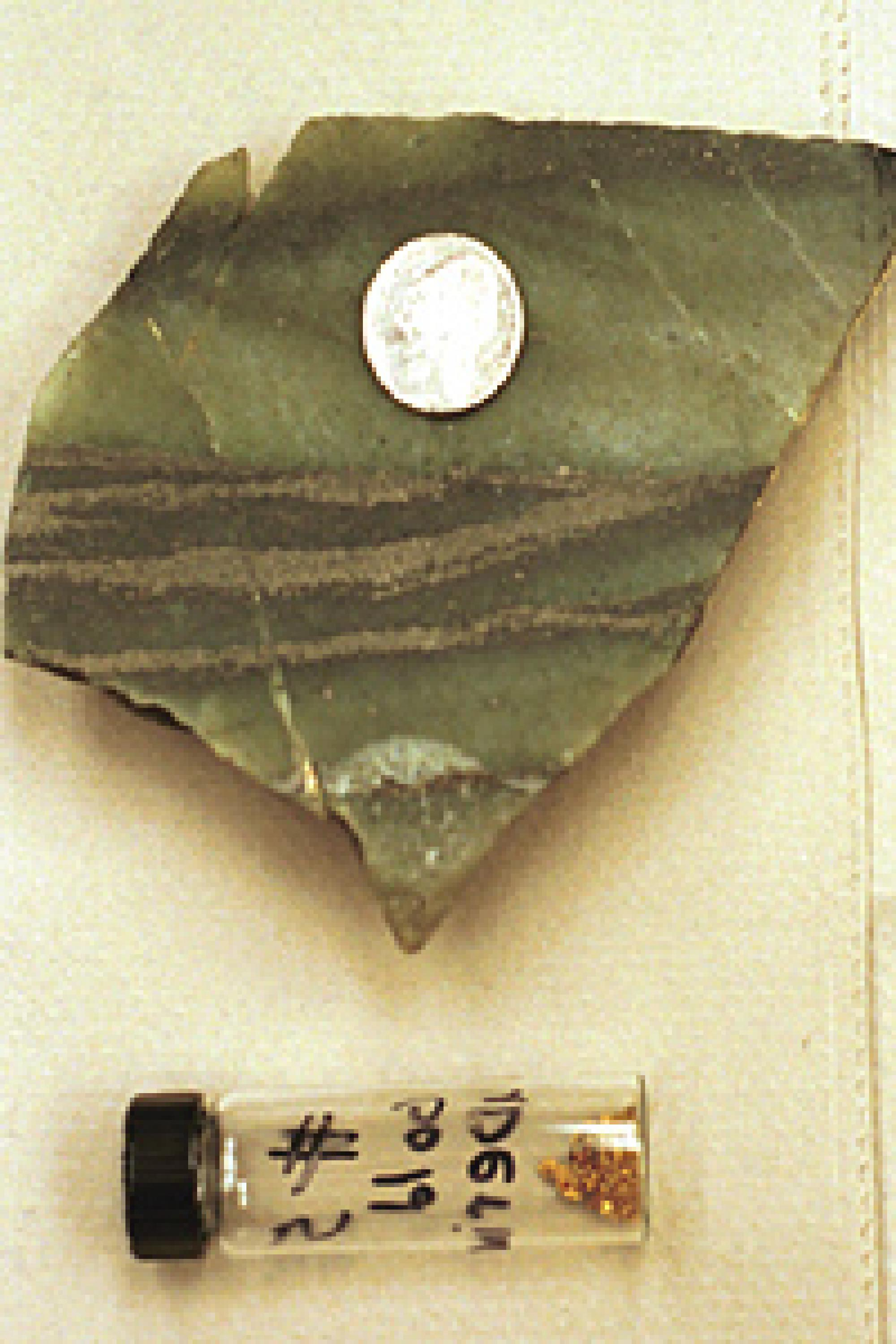 Crossbedded gold layers run through the green metamorphosed conglomerate rock shown with a nickel for scale in the photo above,  along with a sample of gold.