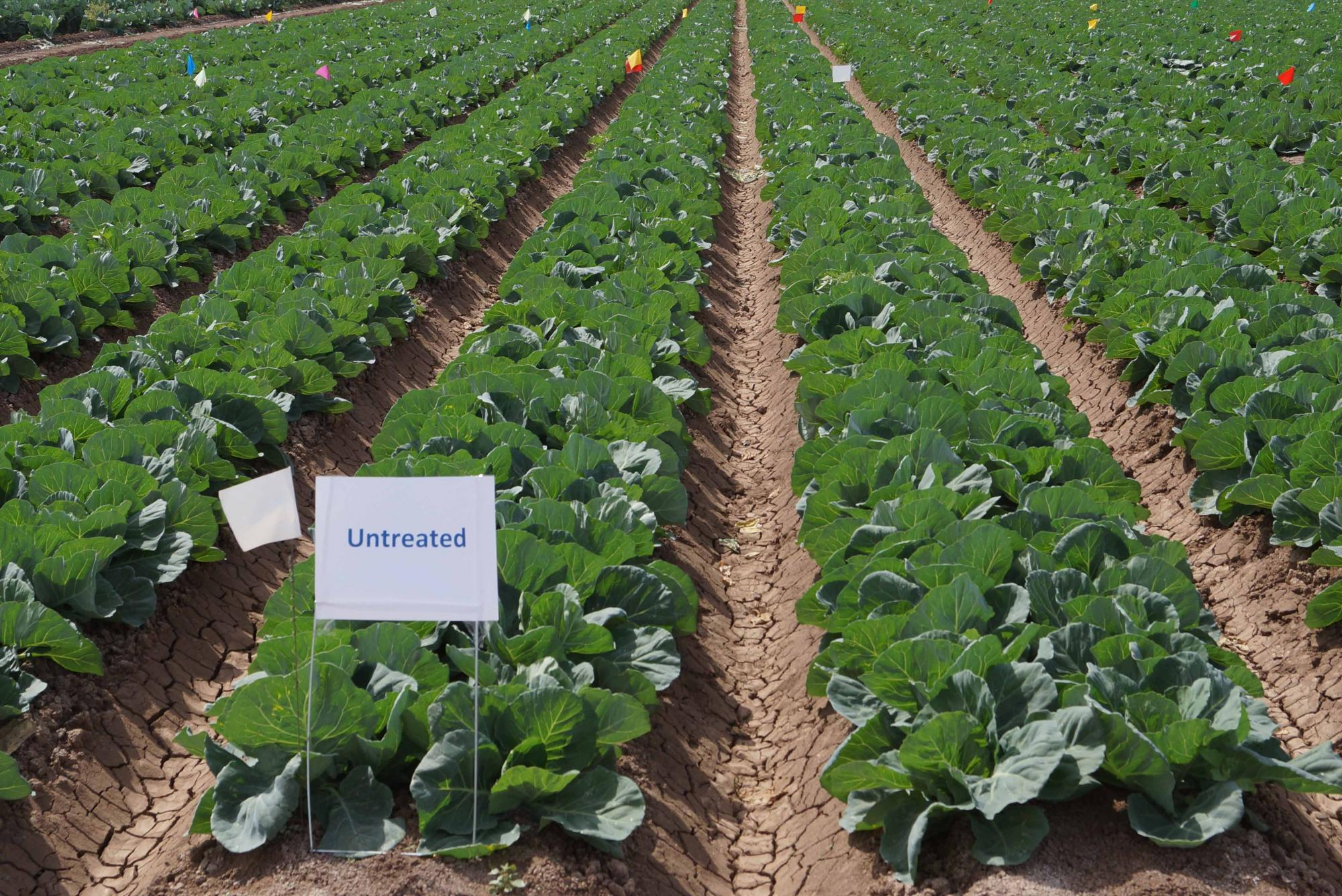 Untreated plots of green cabbage in a trial designed to evaluate several new reduced-risk insecticides against green peach aphids.