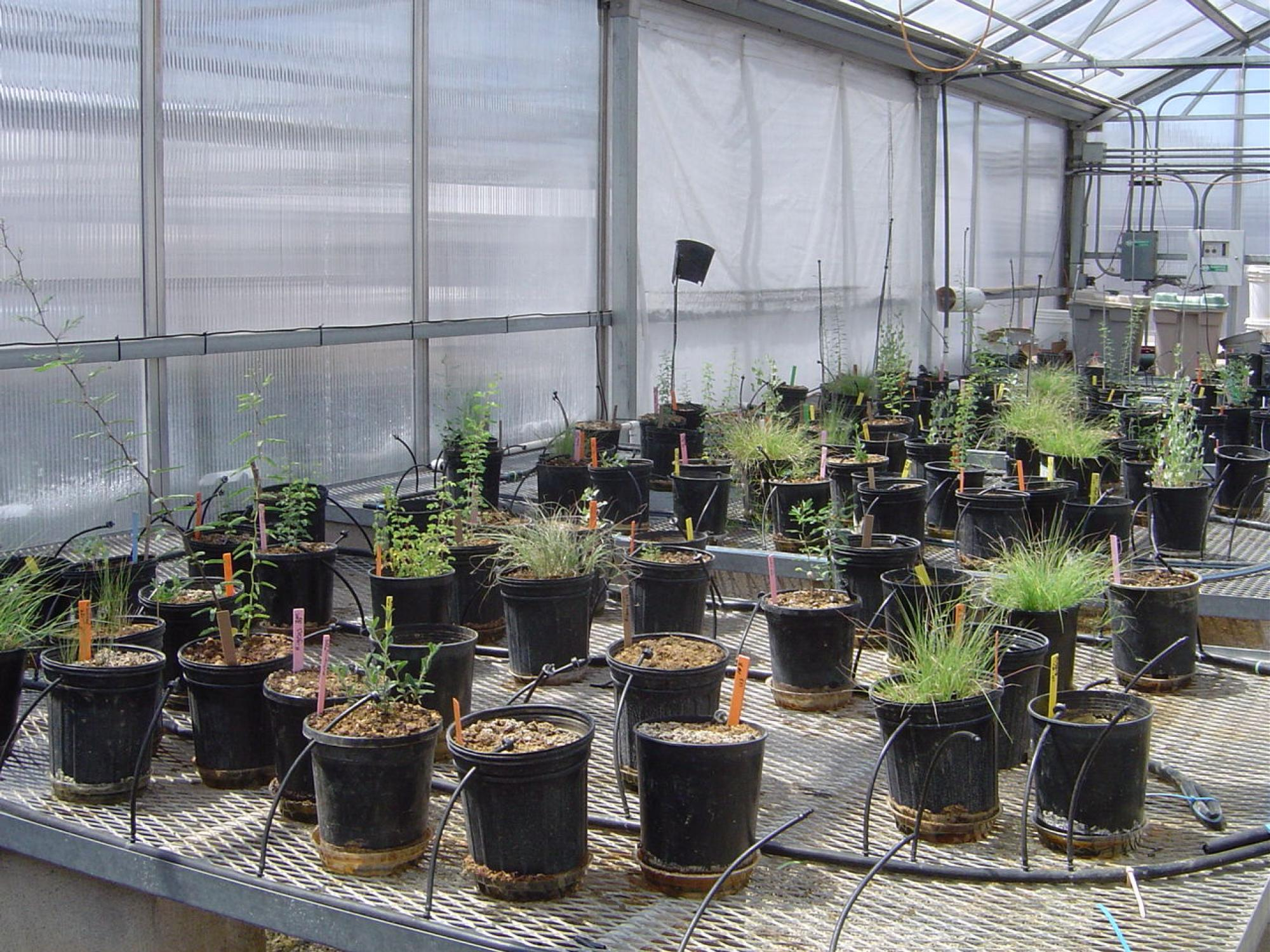 A preliminary greenhouse trial was conducted to find out which native desert plants could grow in the Iron King mine tailings without taking up metals.