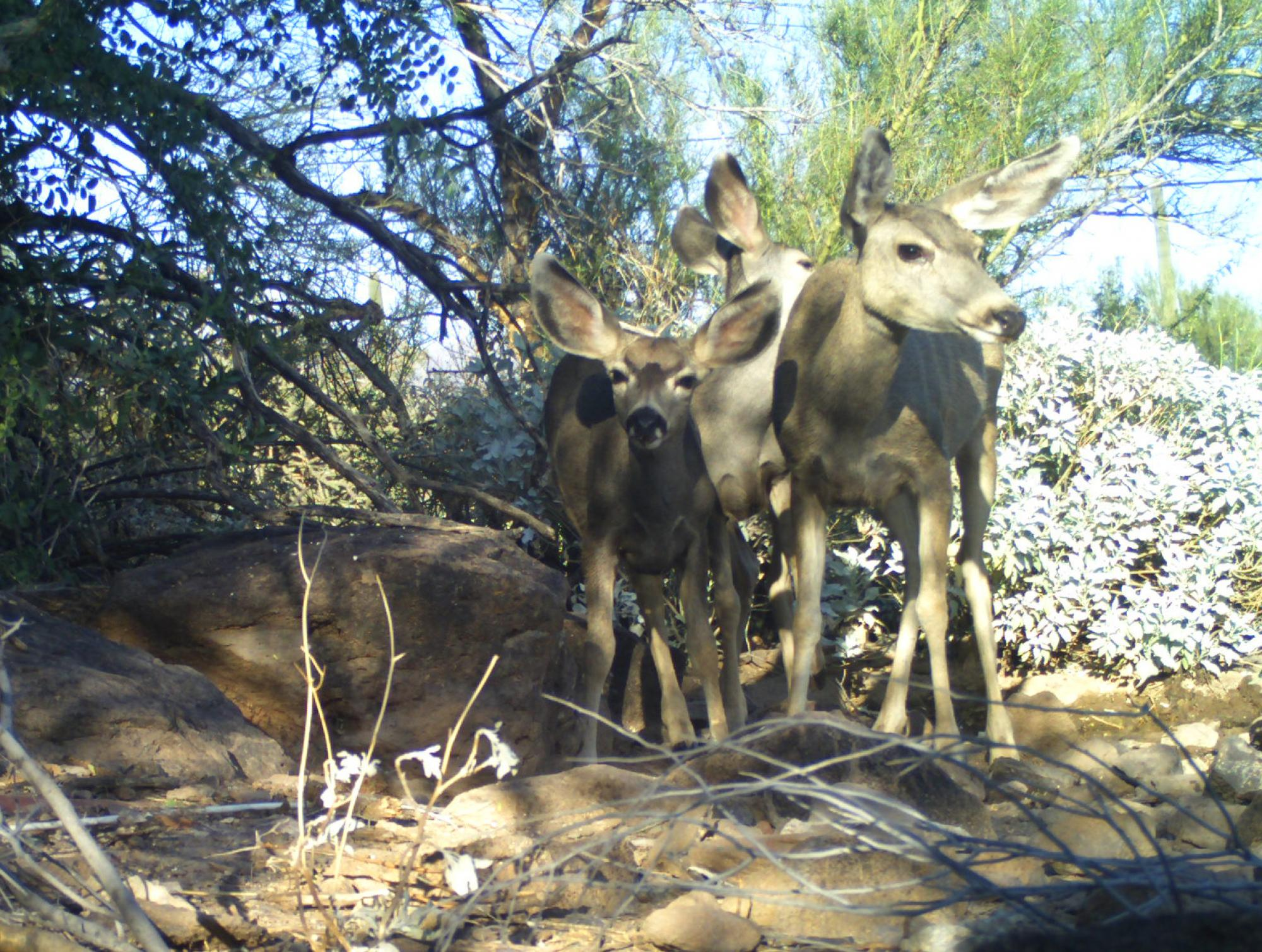 This snapshot of mule deer was taken by a trail camera put in place as part of the student-led monitoring study.