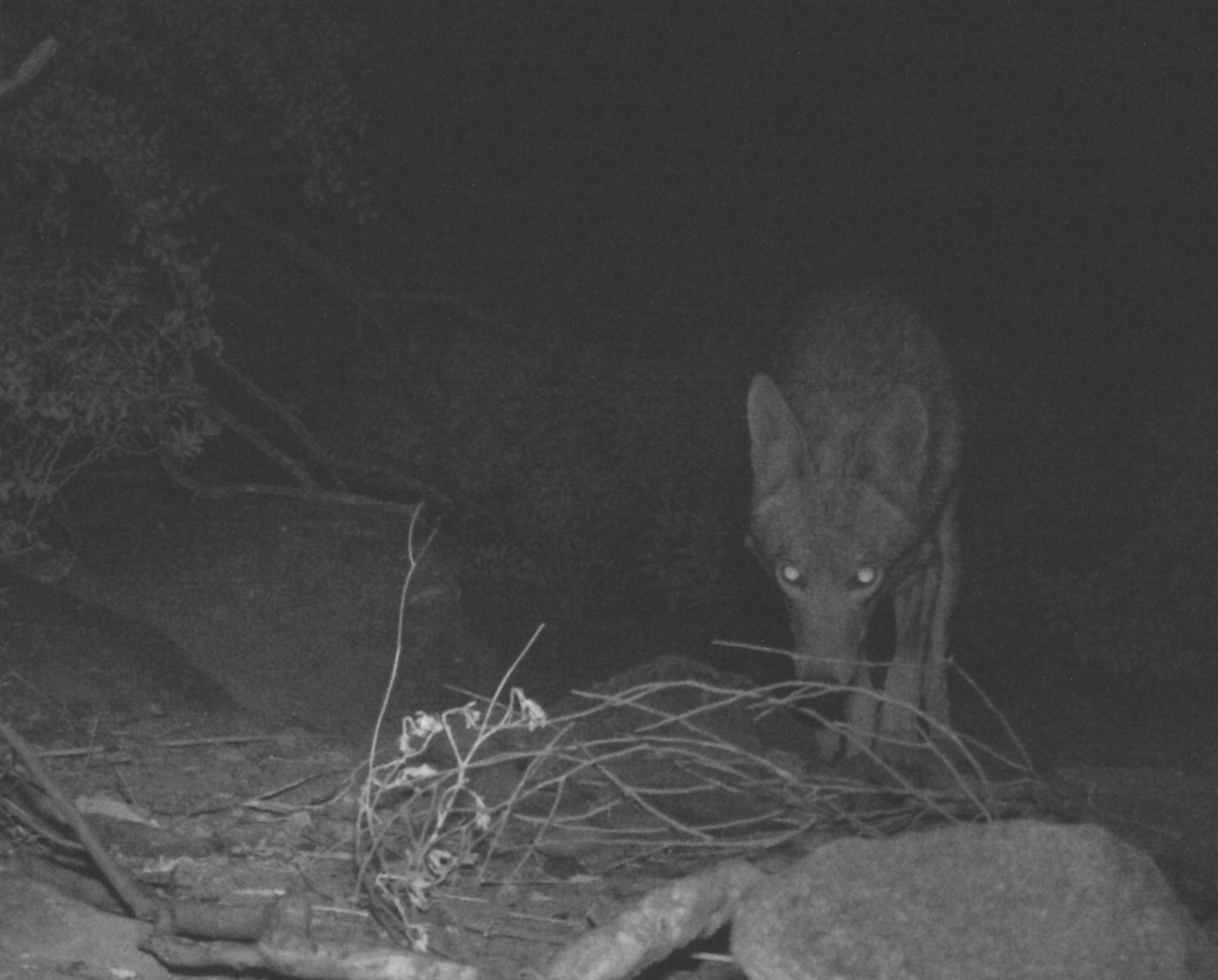A coyote takes a nocturnal excursion through the shrubby desert.