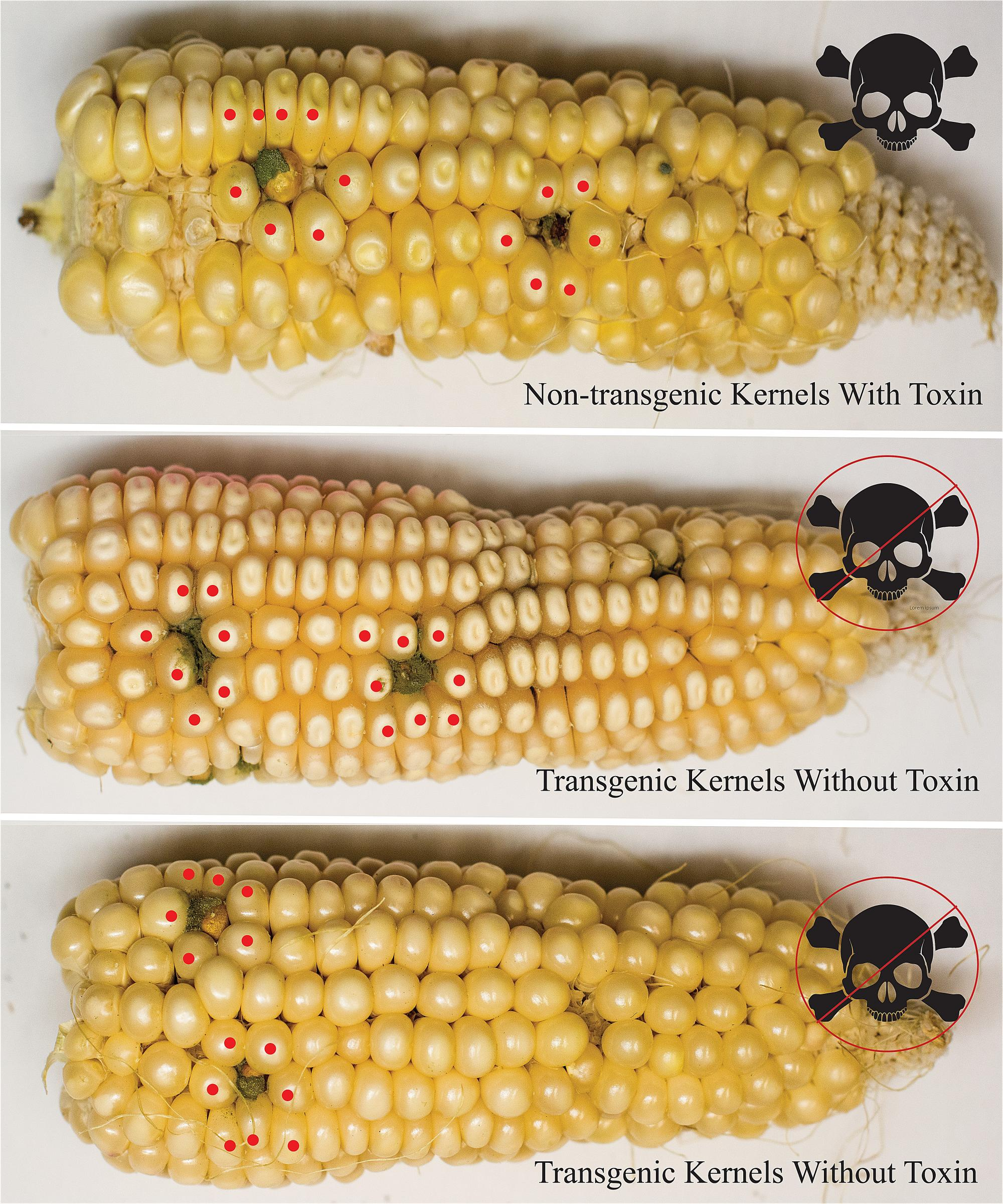 These corn cobs show the sites where they were infected with Aspergillus fungus. Although non-transgenic and transgenic kernels showed evidence of equal infection, the transgenics accumulated no toxin. Red dots mark the kernels harvested by the researcher