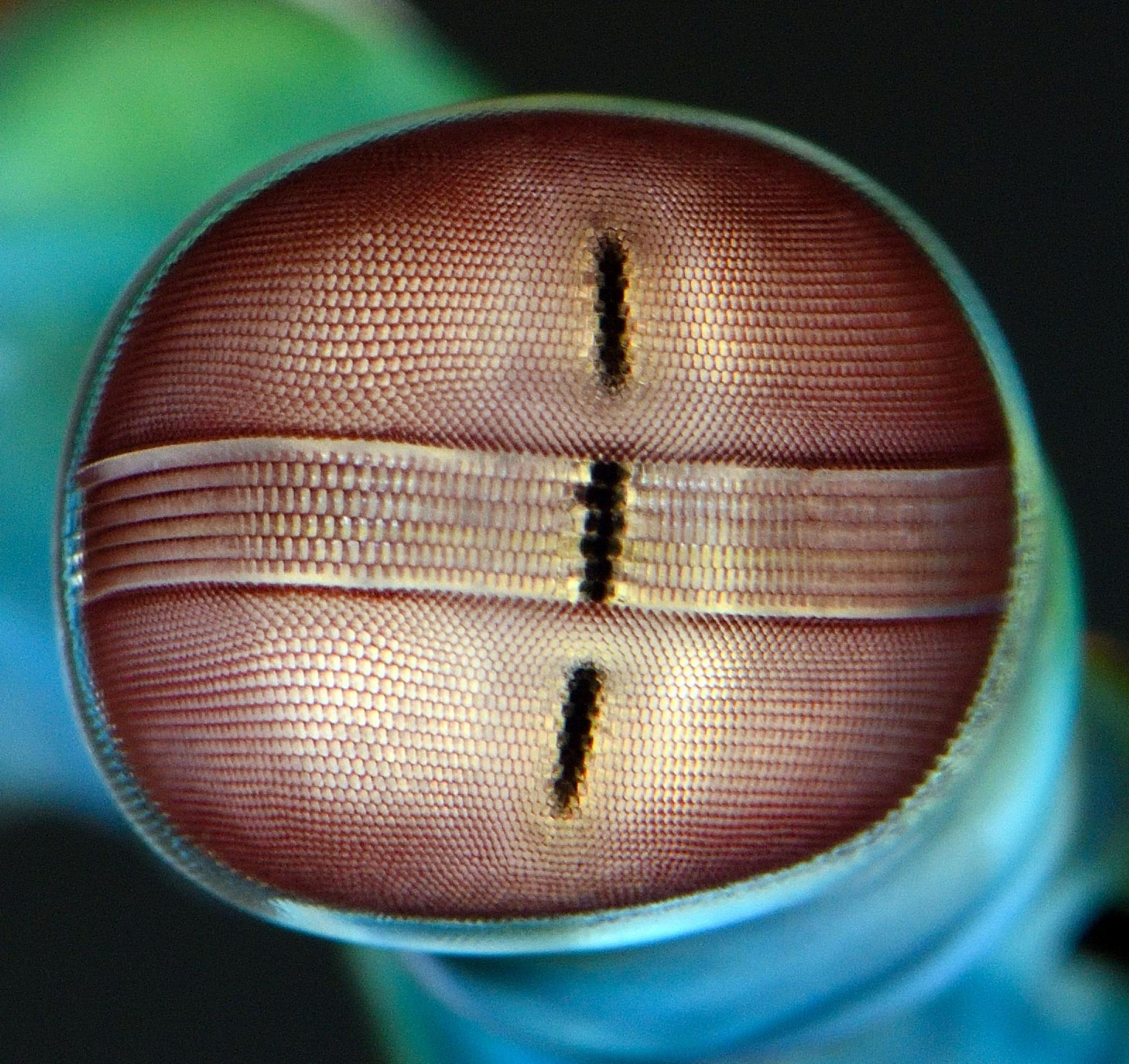 A close-up of the unique architecture of the mantis shrimp eye.