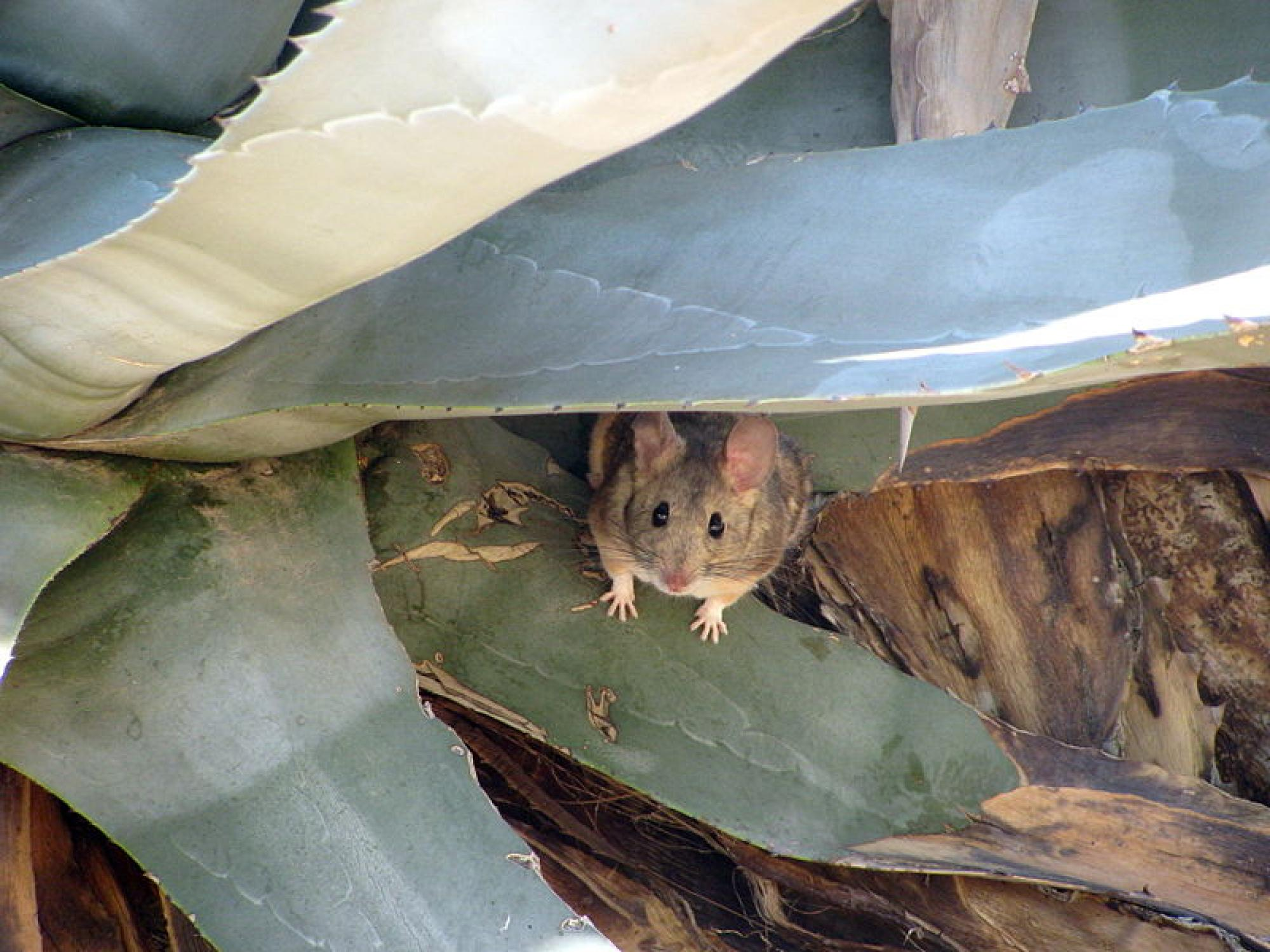Desert Packrat  in a Century Plant  in Joshua Tree, California, USA, April 2015. The packrat is one of two small mammals and one of six species that will have their genomes sequenced for the project.