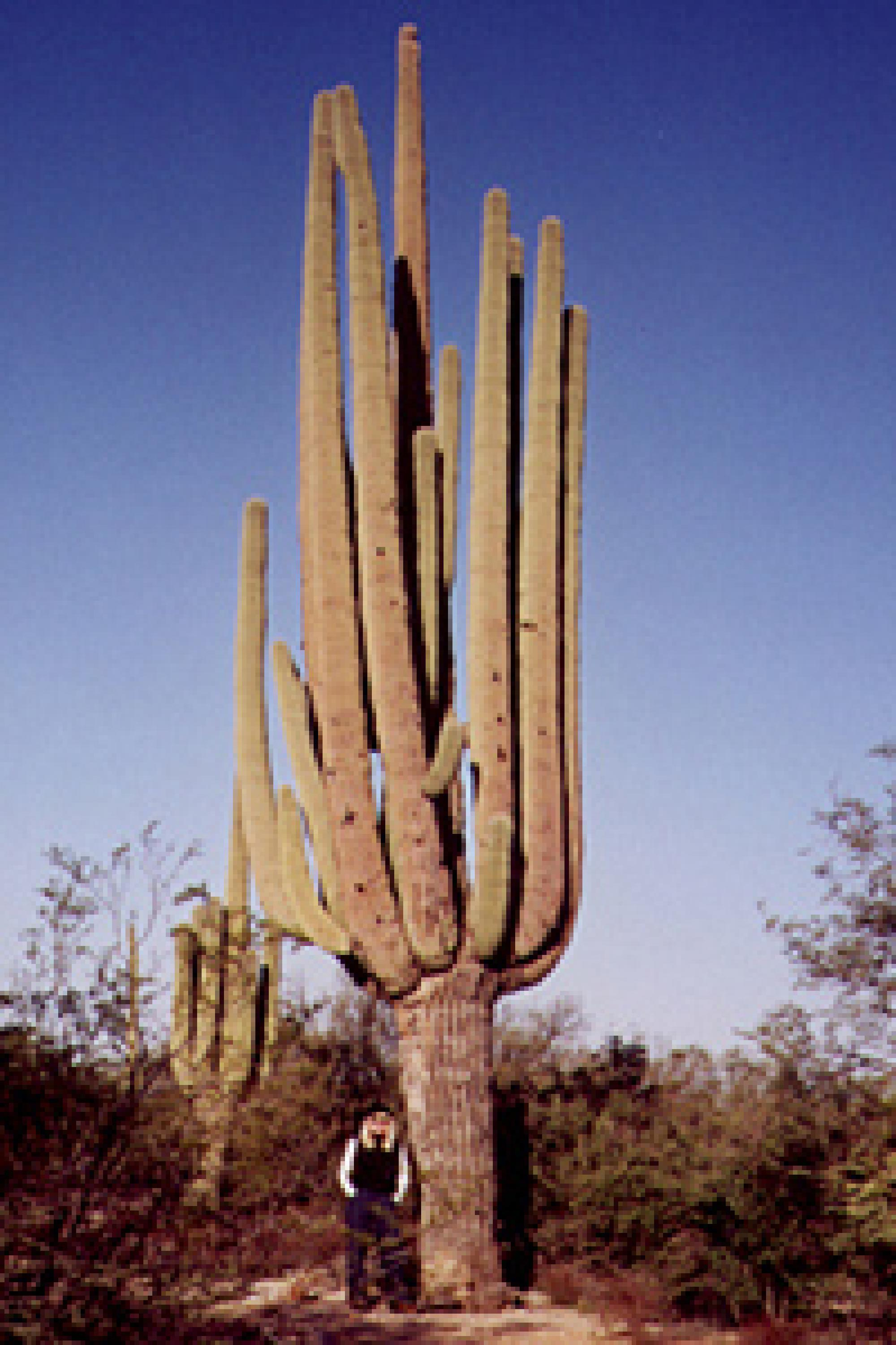 One of the giant saguaros near the Loma Verde Trail in Saguaro National Park East