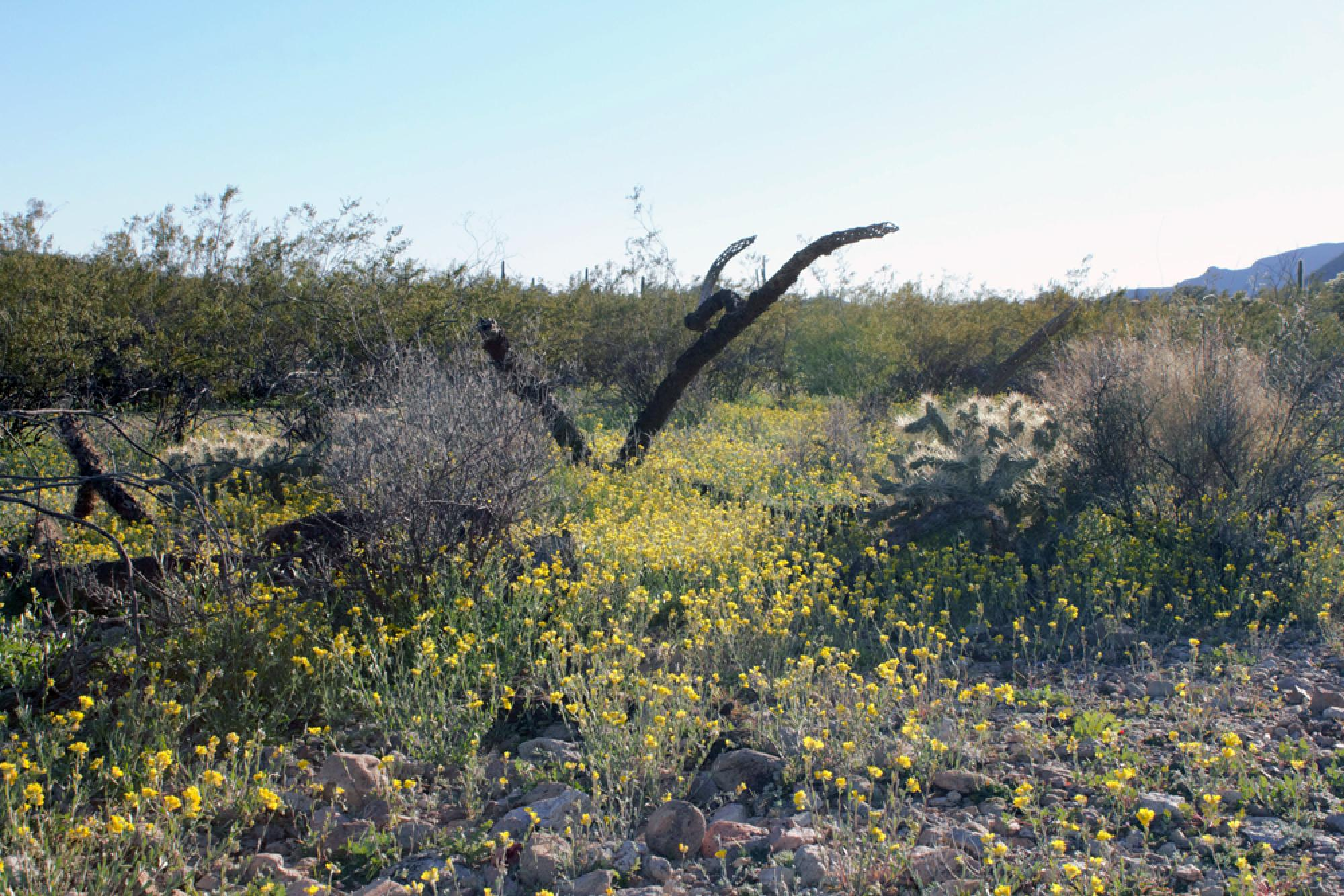 Physaria gordonii, commonly known as Gordon's bladderpod, was in full bloom after February's heavy rainfalls in southern Arizona.