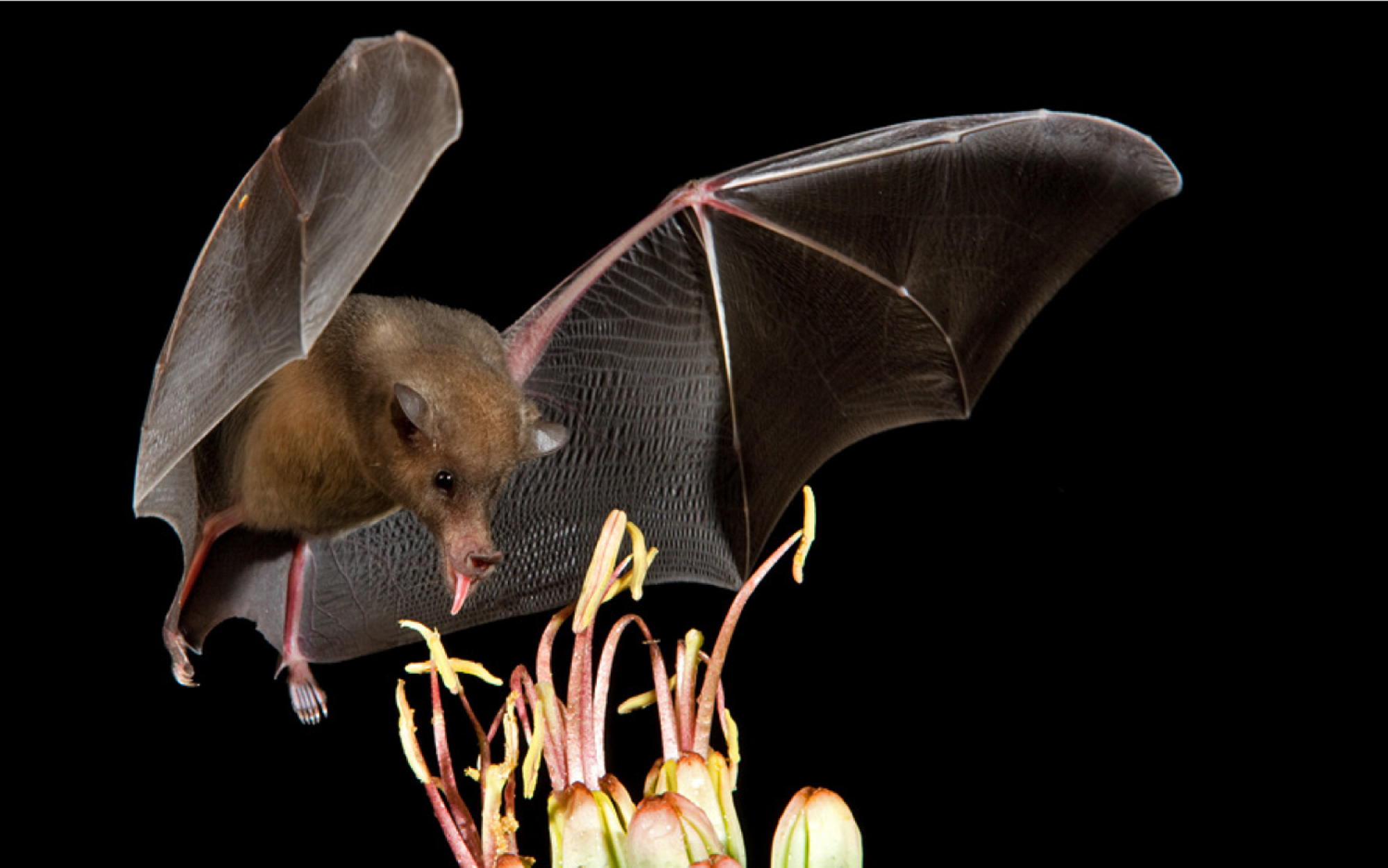 Many species of bats, such as this lesser long-nosed bat, pollinate plants, another example of important ecosystem services provided by these nocturnal mammals.