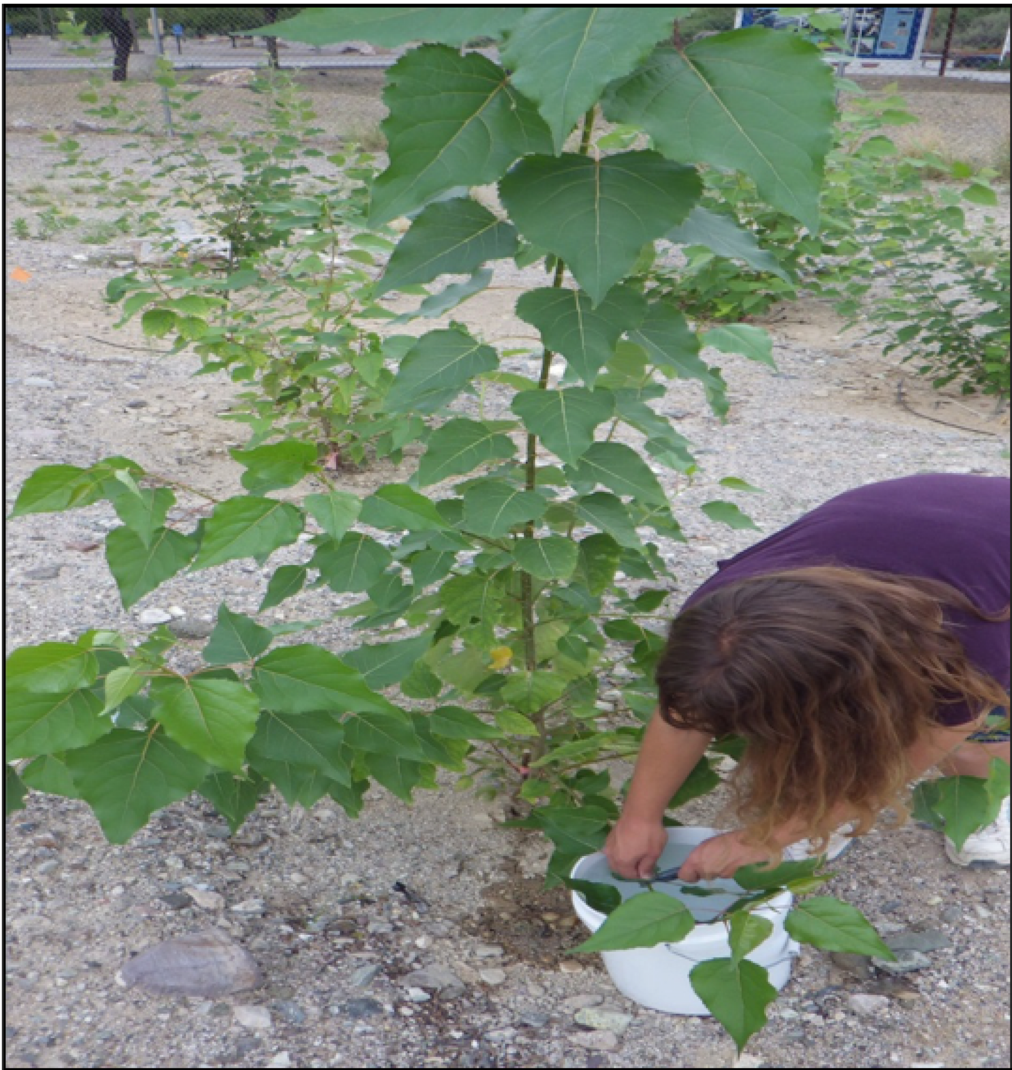 Amberly Neice was a student in the National Science Foundation-funded Research Experiences for Undergraduates program when she assisted with the poplar tree study in 2014.