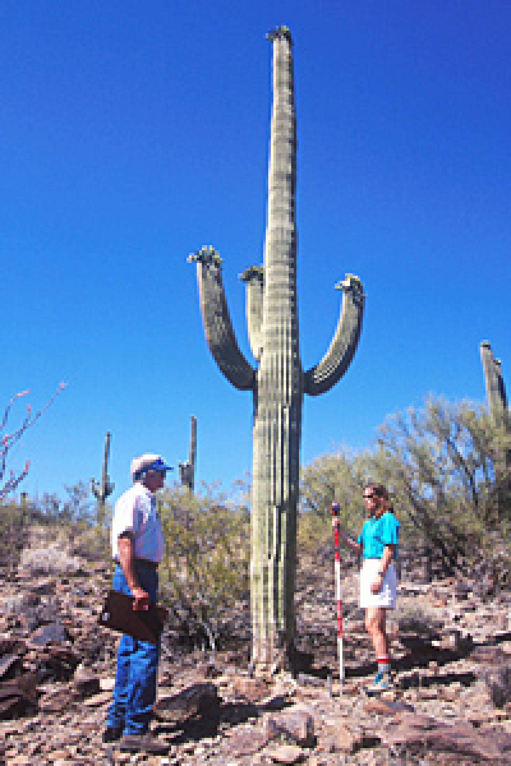 Turner and Pierson have continued the long-term Desert Lab saguaro study.