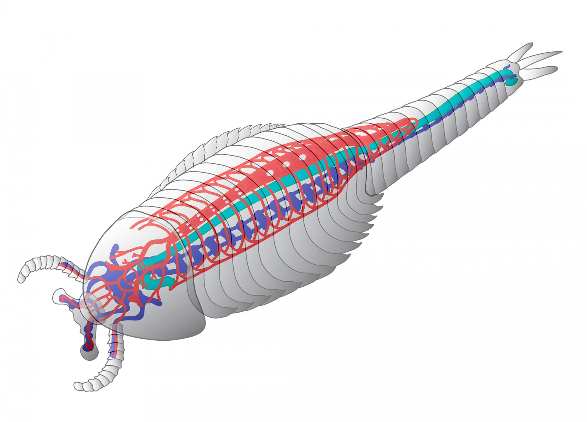 This image shows a schematic reconstruction of the animal, outlining the cardiovascular system in red, the brain and central nervous system in blue and the gut in green.