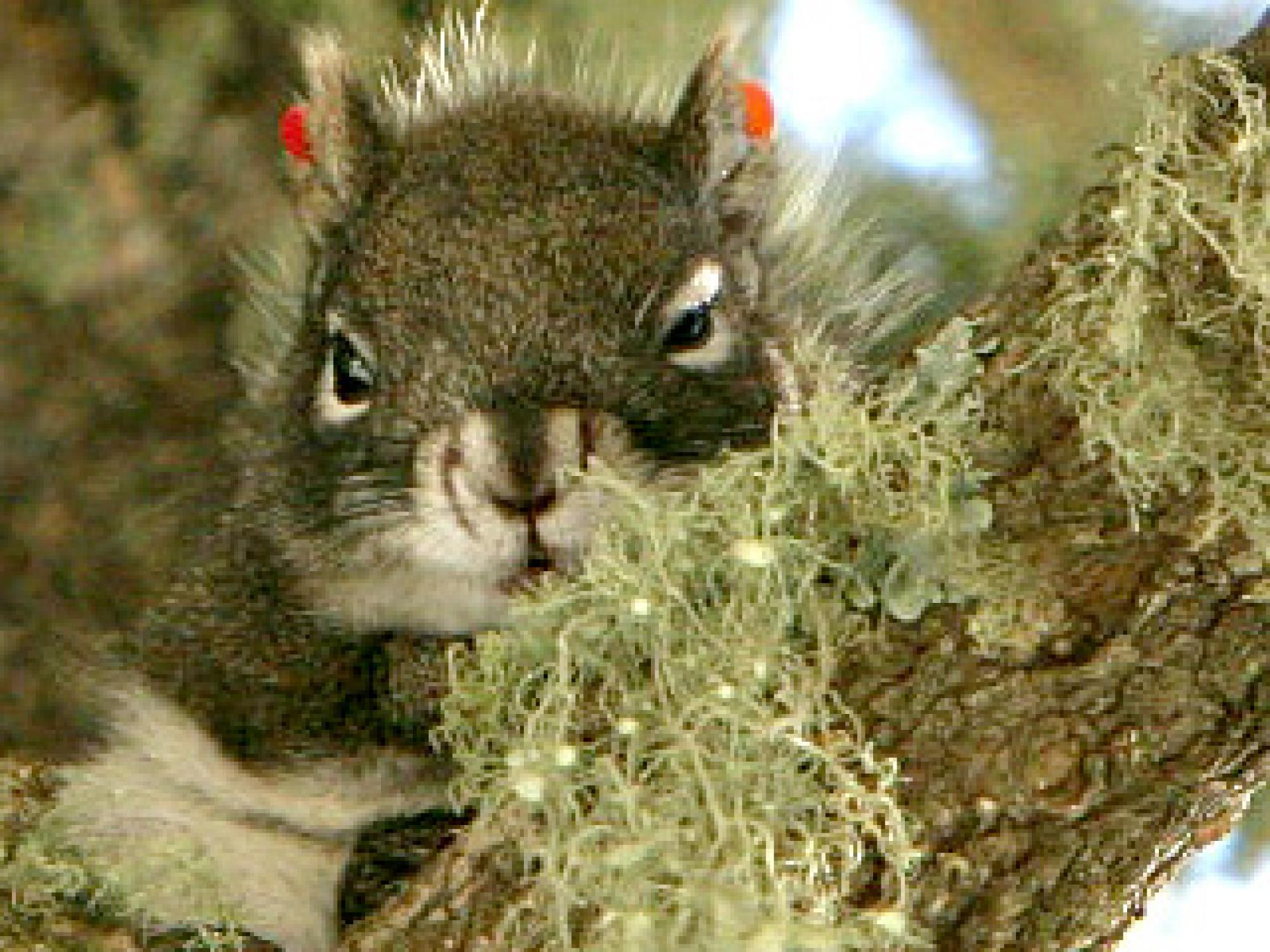 High-tech computer modeling may help rescue the Mount Graham Red Squirrel from extinction.