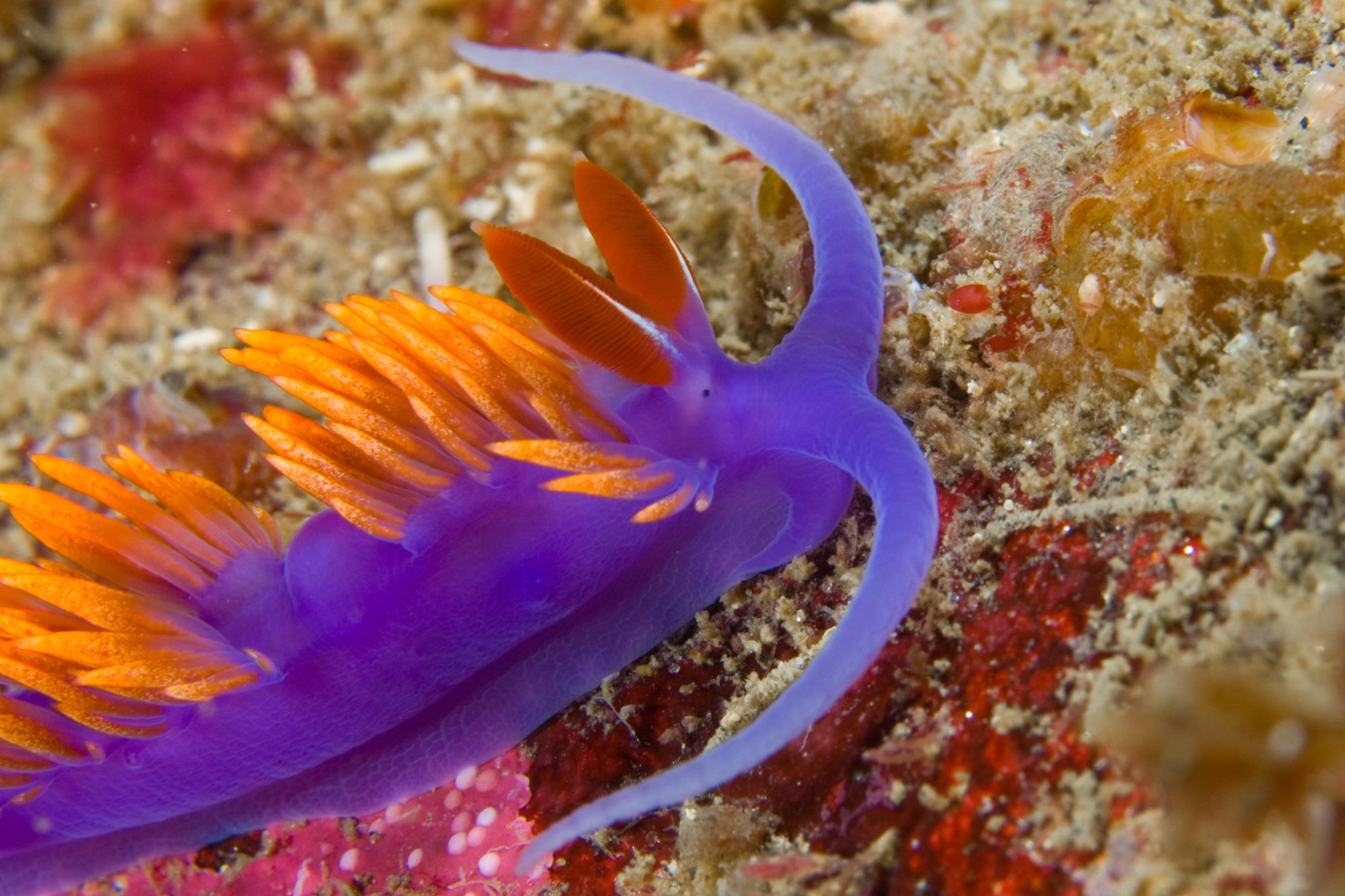 Unlike many of their land-dwelling kin, many so-called sea slugs such as this Spanish Shawl are carnivorous snails that prey on polyps, sponges or even each other.