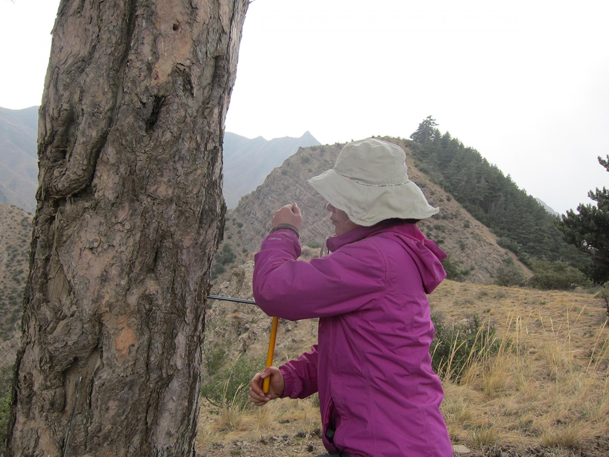 Prof. Huiming Song from the Tree-ring Laboratory of The Institute of Earth Environment at the Chinese Academy of Sciences in Xi'an, China, collects a core sample from a tree on Mt. Hasi.using a hand-turned increment borer.