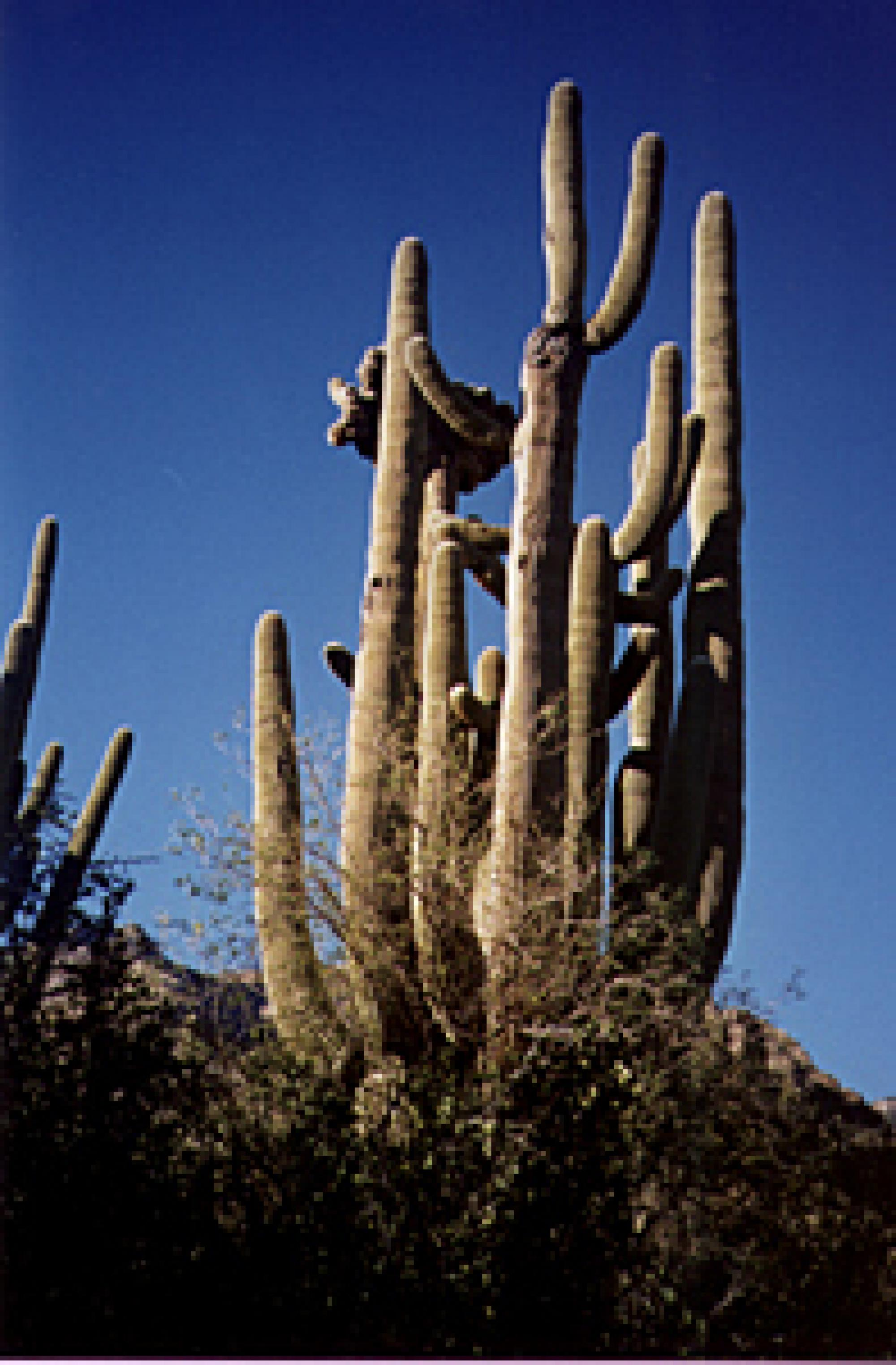 A couple of old soldiers of the desert, near the end of Ventana Canyon trail.  These cacti started growing when Tucson was still just a tiny village clustered around the Santa Cruz River.
