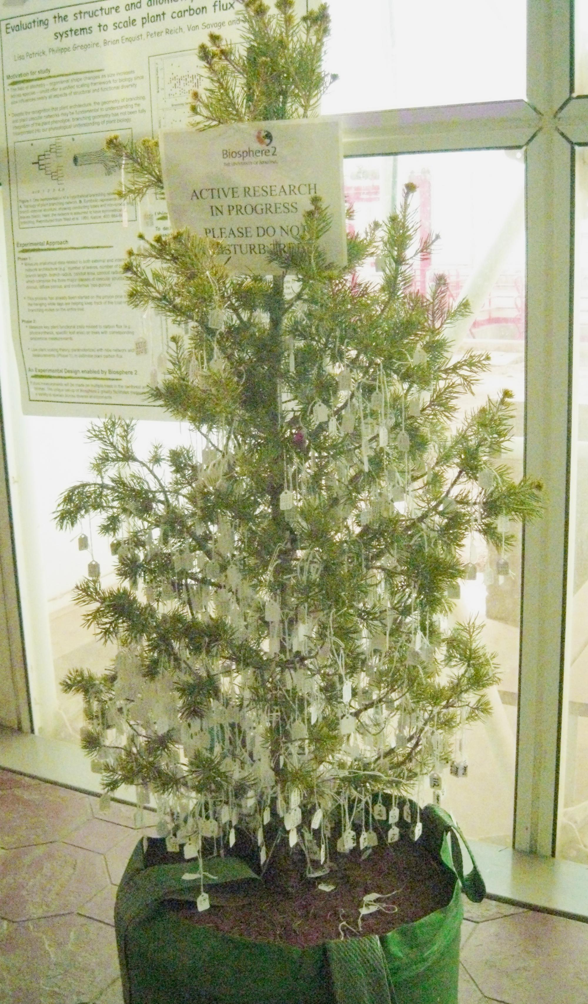 What looks like a christmas tree is actually a study subject: Bentley's team, including several UA undergraduate students, carefully attached labels to every single branch of several trees to keep track of them.
