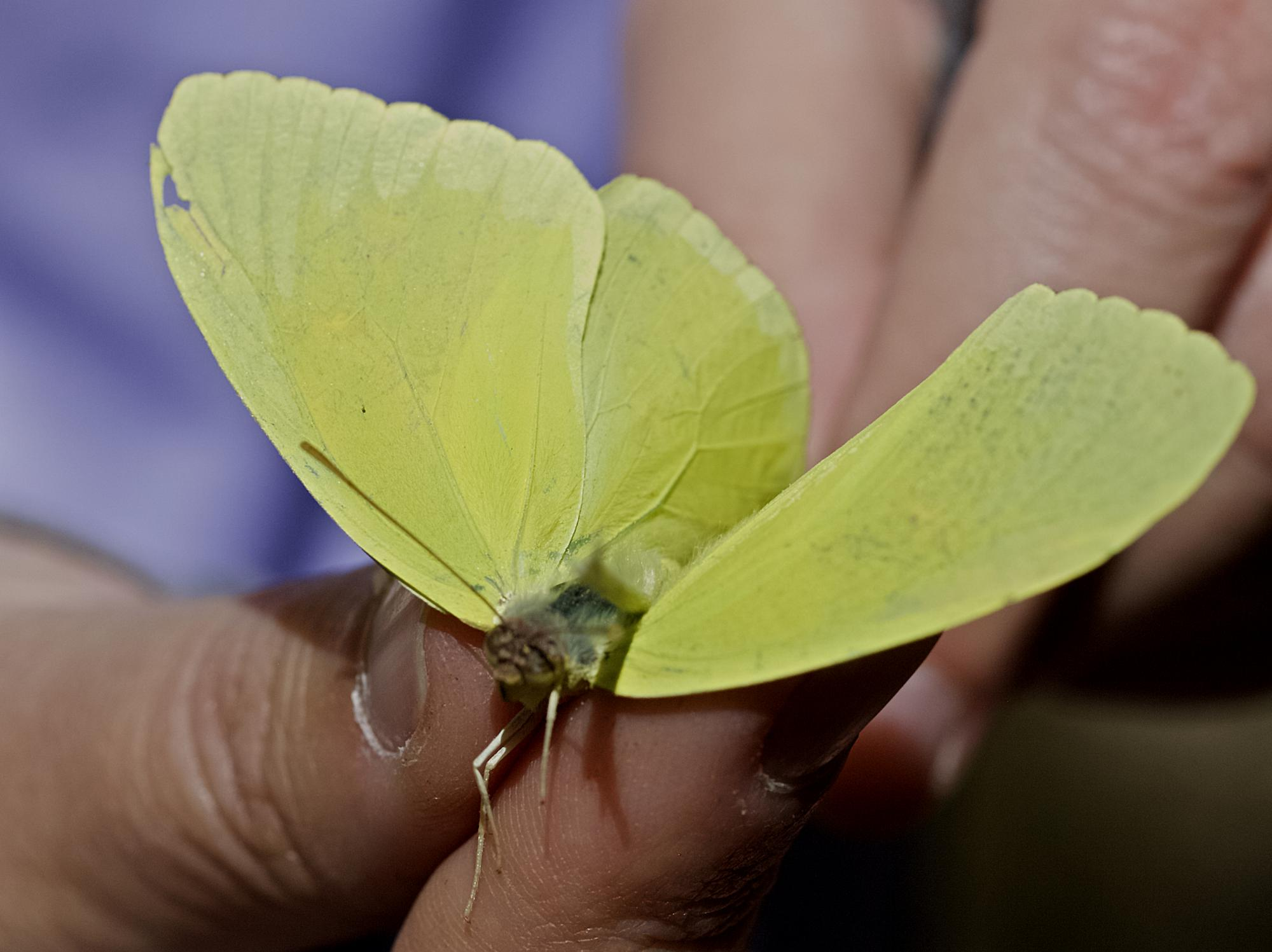 Before heading out to their assigned study sites, field volunteers receive training on how to handle butterflies so as to not harm them and capture their  diagnostic markings in the photograph. Shown here is a cloudless sulphur .