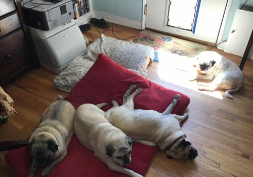 In their defense, pugs are not considered part of the working dog group. This is  Trudy, Fred, Tank and Wubby. – Dee Belle-Oudry, interim associate department head for education and academic affairs and director of academic services, Department of Chemist