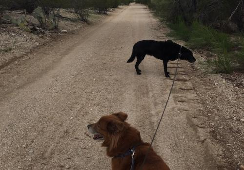Morning traffic on my commute to work. The black Lab is Malie. The red/brown dog is Rusty. – Katie Maass, director of communications and public education at the Sarver Heart Center