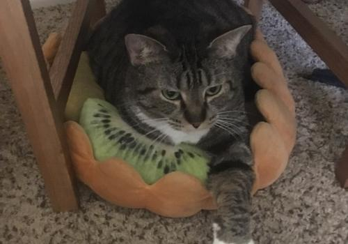 Nova, shown here relaxing in her fruit tart, is very excited we are home all the time now. – Natalie Payne, doctoral student, genetics graduate interdisciplinary program
