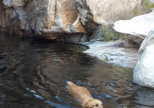 Getting exercise at Molino Canyon with my golden retriever Ripley. – Chris Reidy, principal systems administrator, University Information Technology Services