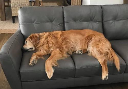 My assistant, Duke, has apparently given his notice. He is a golden retriever. – Lisa Romero, senior director for public affairs and communications at the BIO5 Institute
