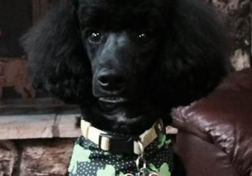 """I'm attaching a picture of my home """"office assistant"""" – he's a poodle named Fenway. And yes, we are Red Sox fans! He has been sleeping on the job, so we have had a few career-coaching conversations about his behavior and ongoing expectations. On the flip"""