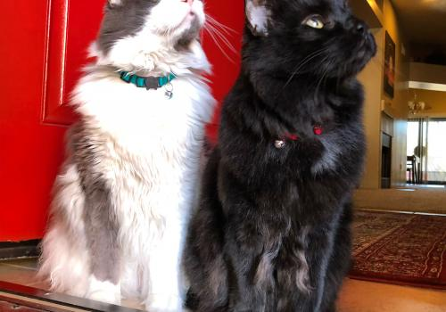 Teddy and Peekaboo used to welcome me home from work every day, just like this. Now that I am working from home, they are very happy and give me more cuddles than usual. – Charlie Touseull, senior library information associate, University Libraries
