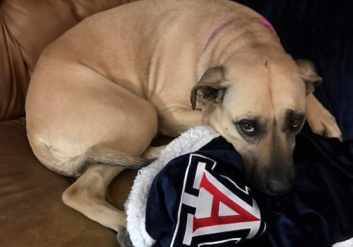 A benefit to Mom working from home is that Sadie gets her favorite blanket laundered more frequently. Here she is all snuggled up, with her University of Arizona blanket fresh out of the washer. – Amy Warren, administrative assistant, Department of Spanis